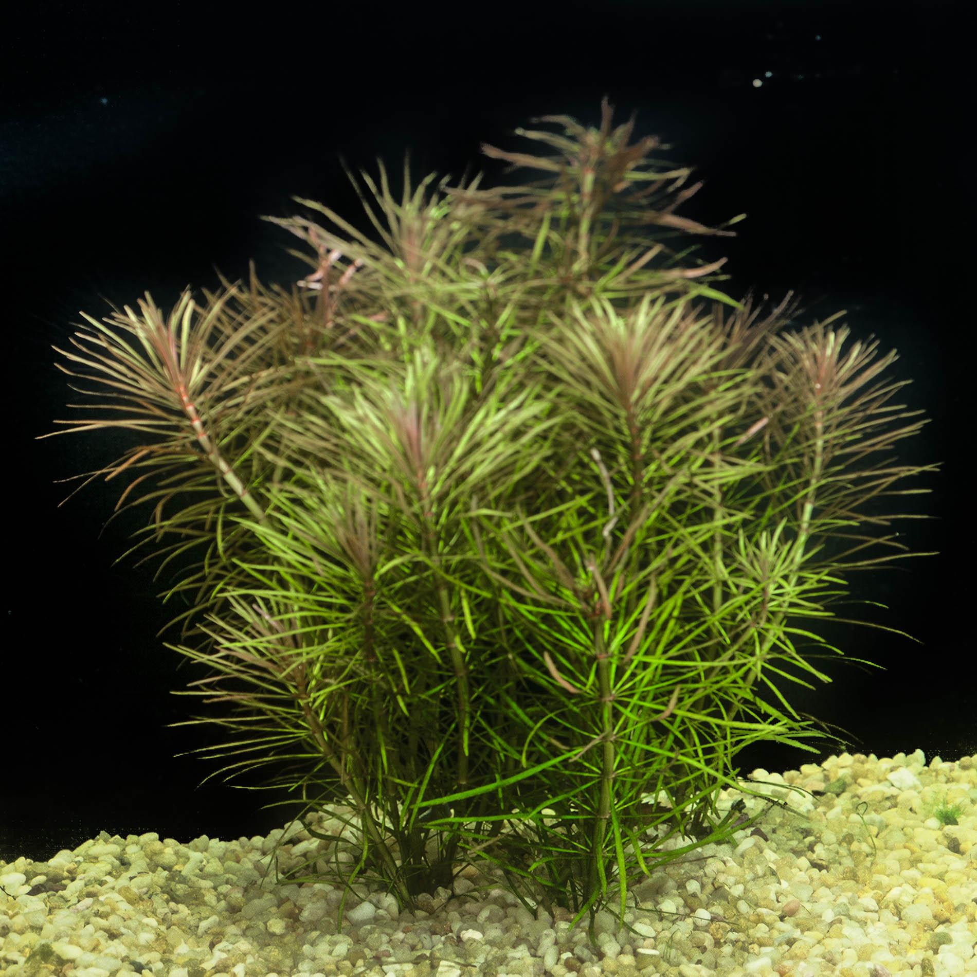 Pogostemon stellatus (Narrow leafed) -