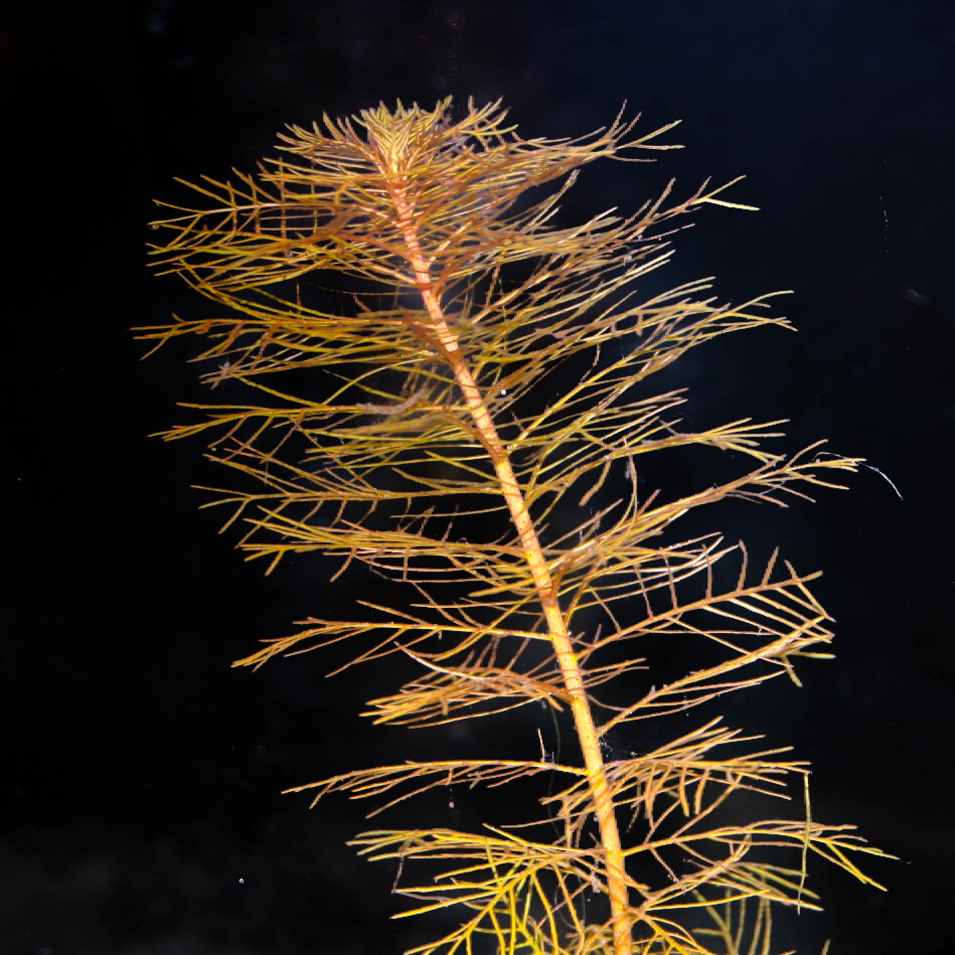 Proserpinaca pectinata (1 of 1).jpg
