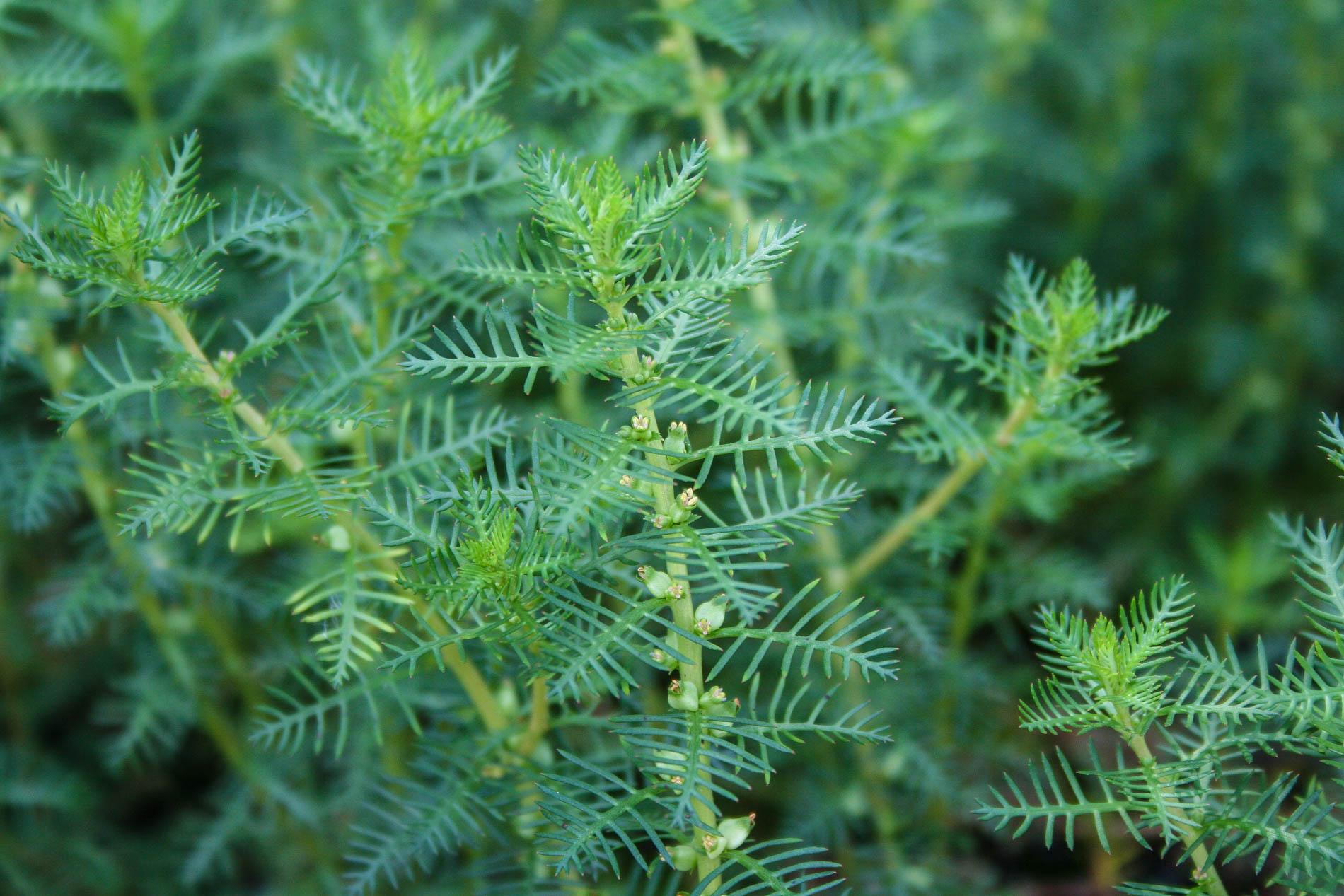 Proserpinaca pectinata flowers 2 (1 of 1).jpg