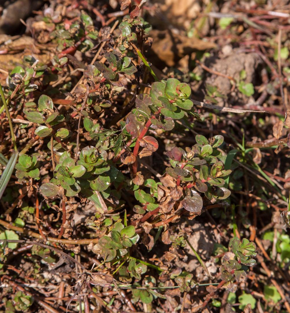 Rotala rotundifolia emersed wild.jpg