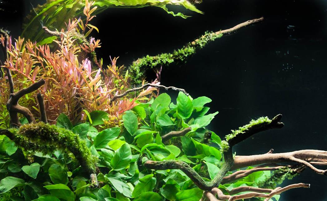 Rotala rotundifolia tank 4 (1 of 1).jpg
