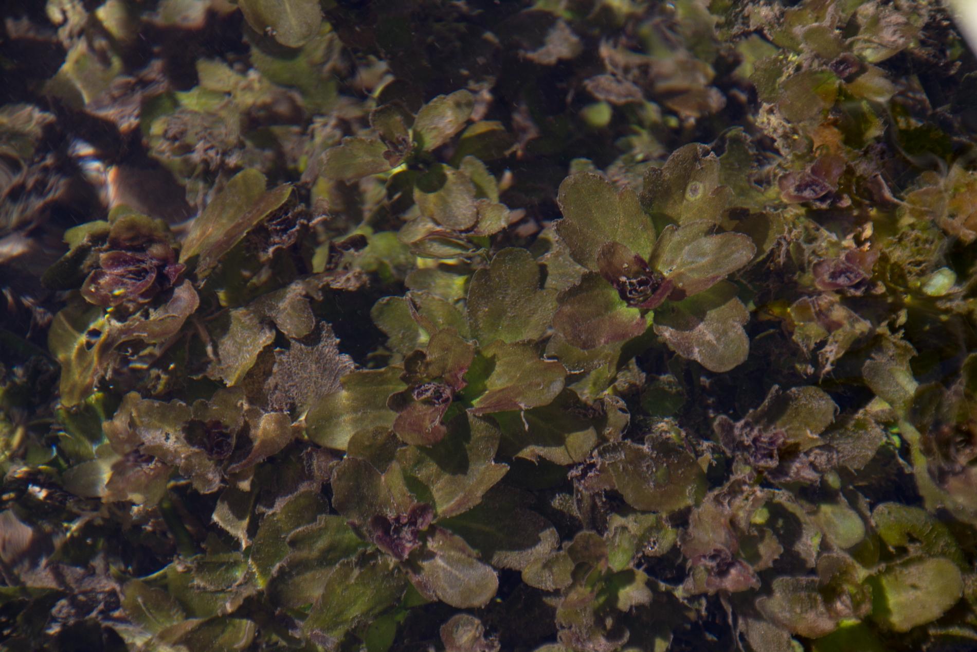 Gymnochoronis submersed wild (1 of 1).jpg