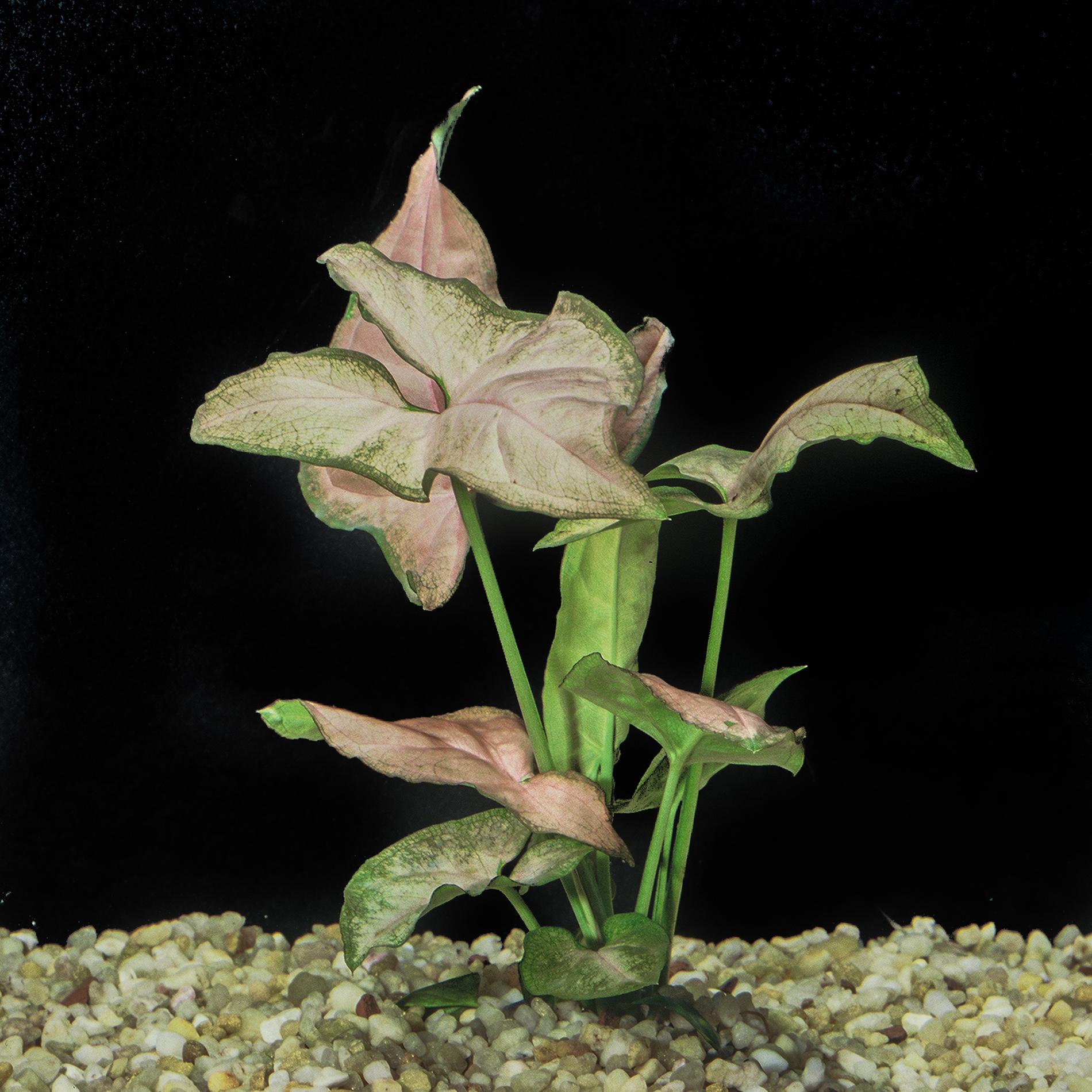 Syngonium_pondophyllum_regina_red.jpg