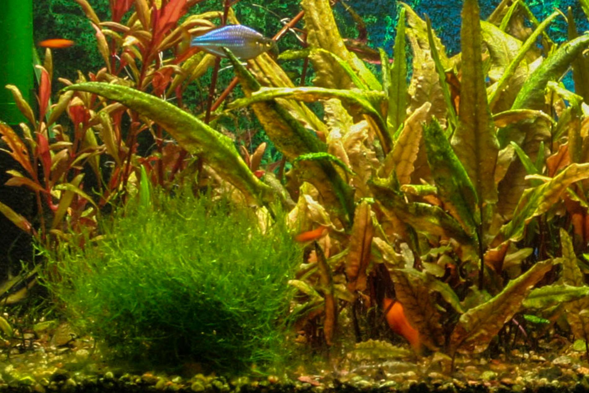 Taxiphyllum barbieri tank (1 of 1)-3.jpg