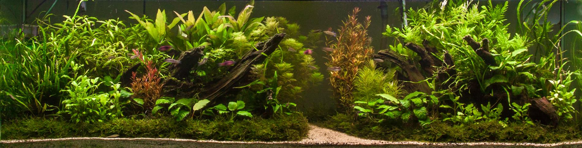 Taxiphyllum barbieri tank (1 of 1)-7.jpg