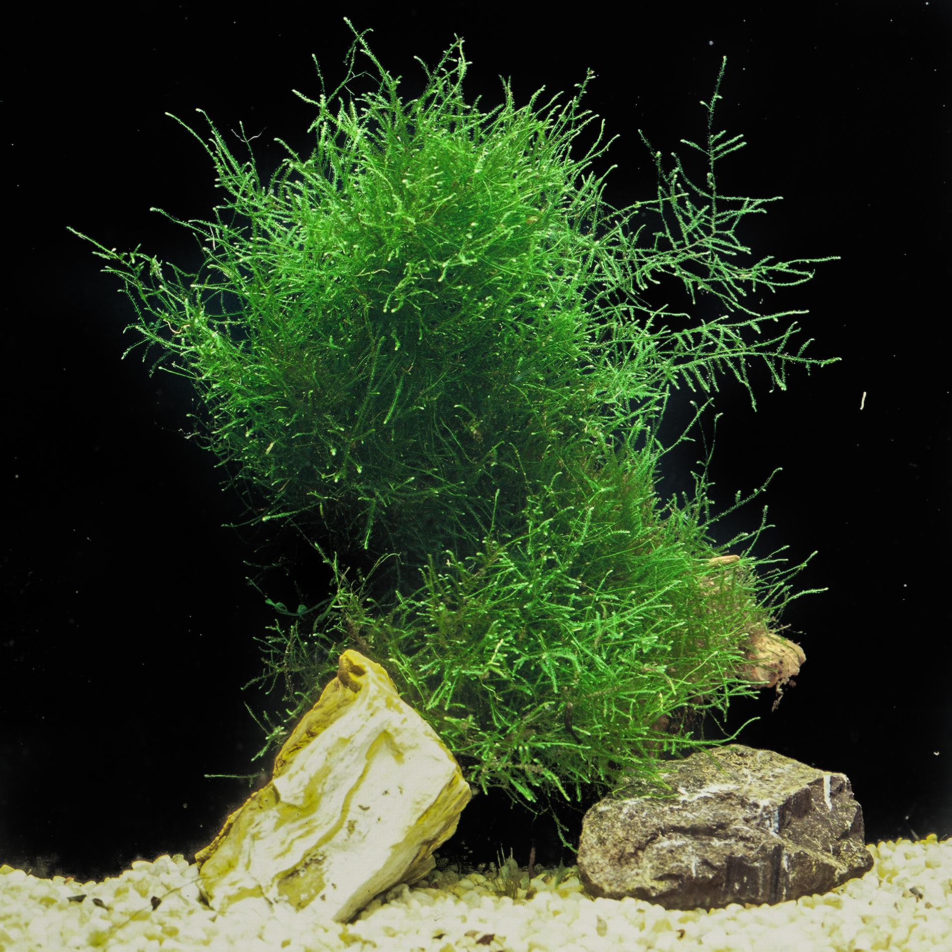 Taxiphyllum barbieri -