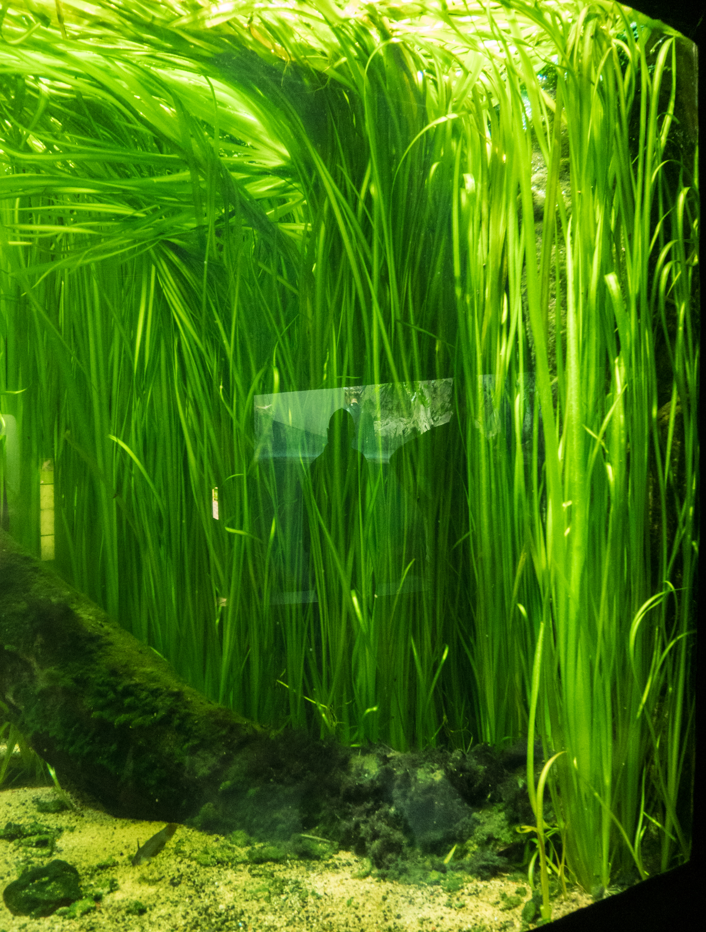 Vallisneria nana (1 of 1).jpg