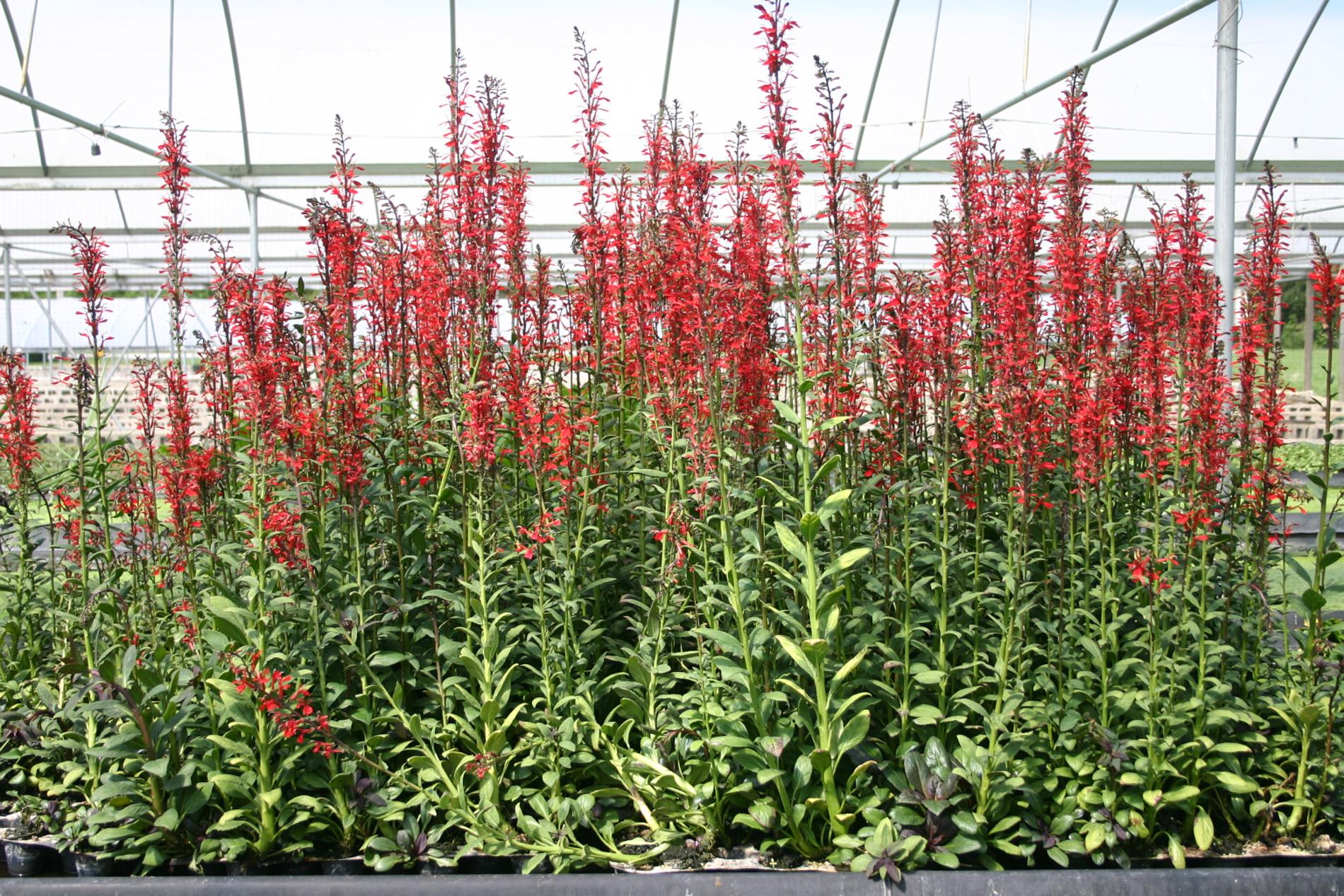 Lobelia cardinalis (1 of 1).jpg