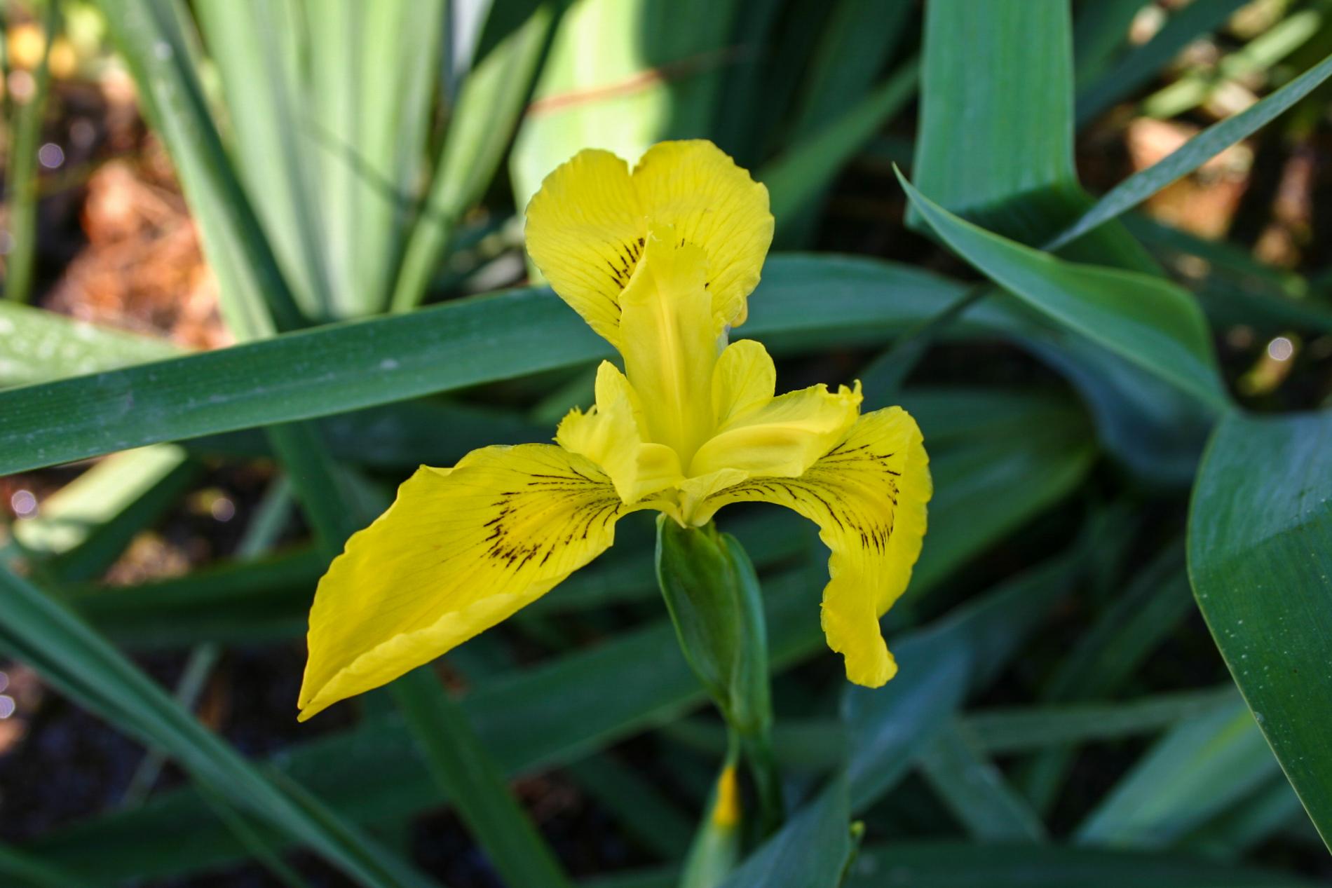 Iris pseudacorus (yellow) (1 of 1).jpg