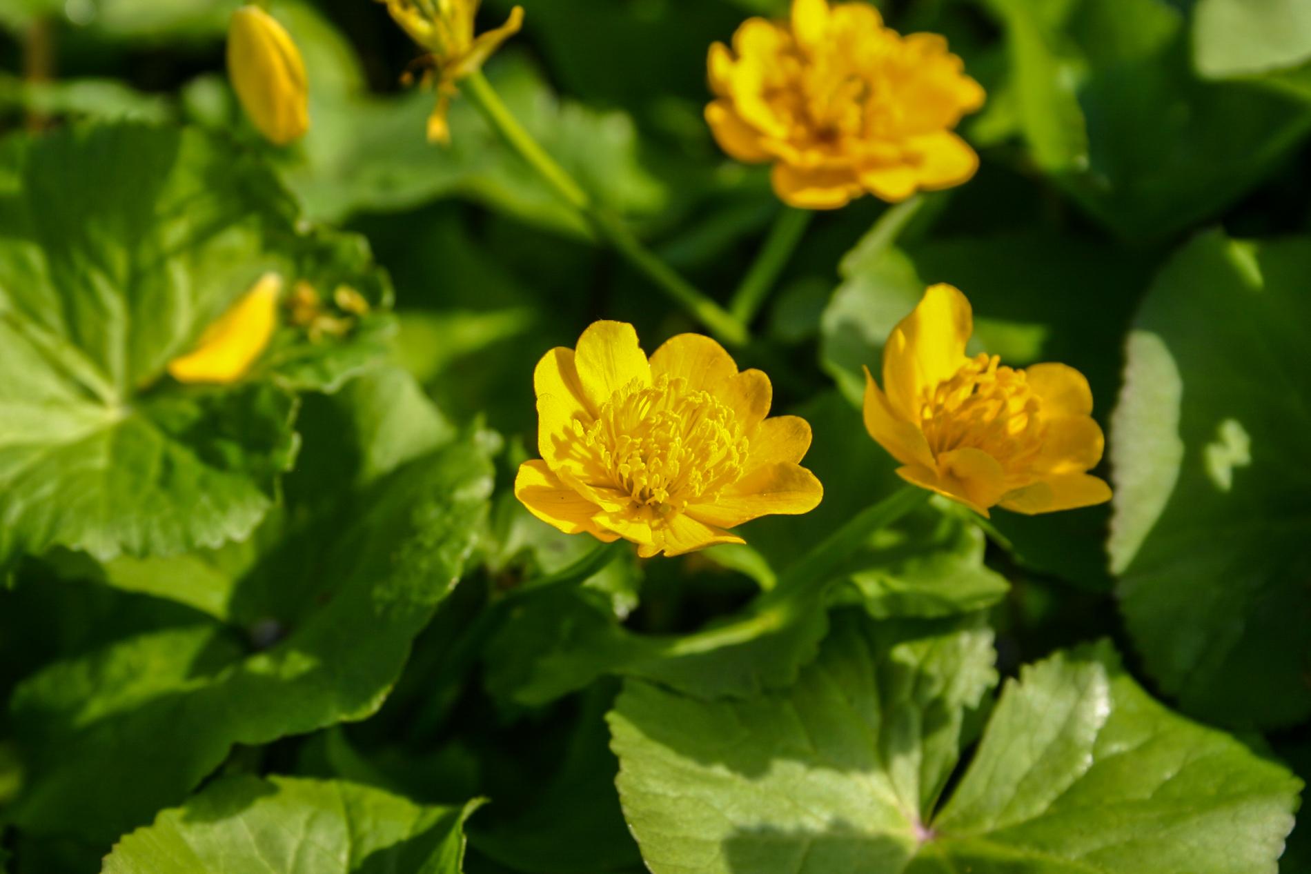 Caltha palustris flower (1 of 1).jpg
