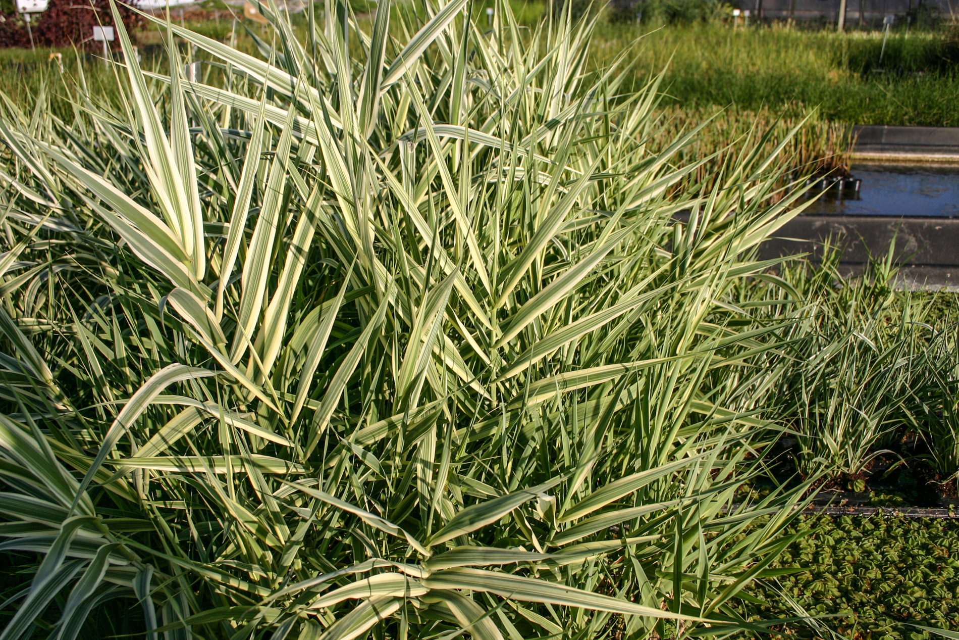Reed variegated giant (1 of 1).jpg
