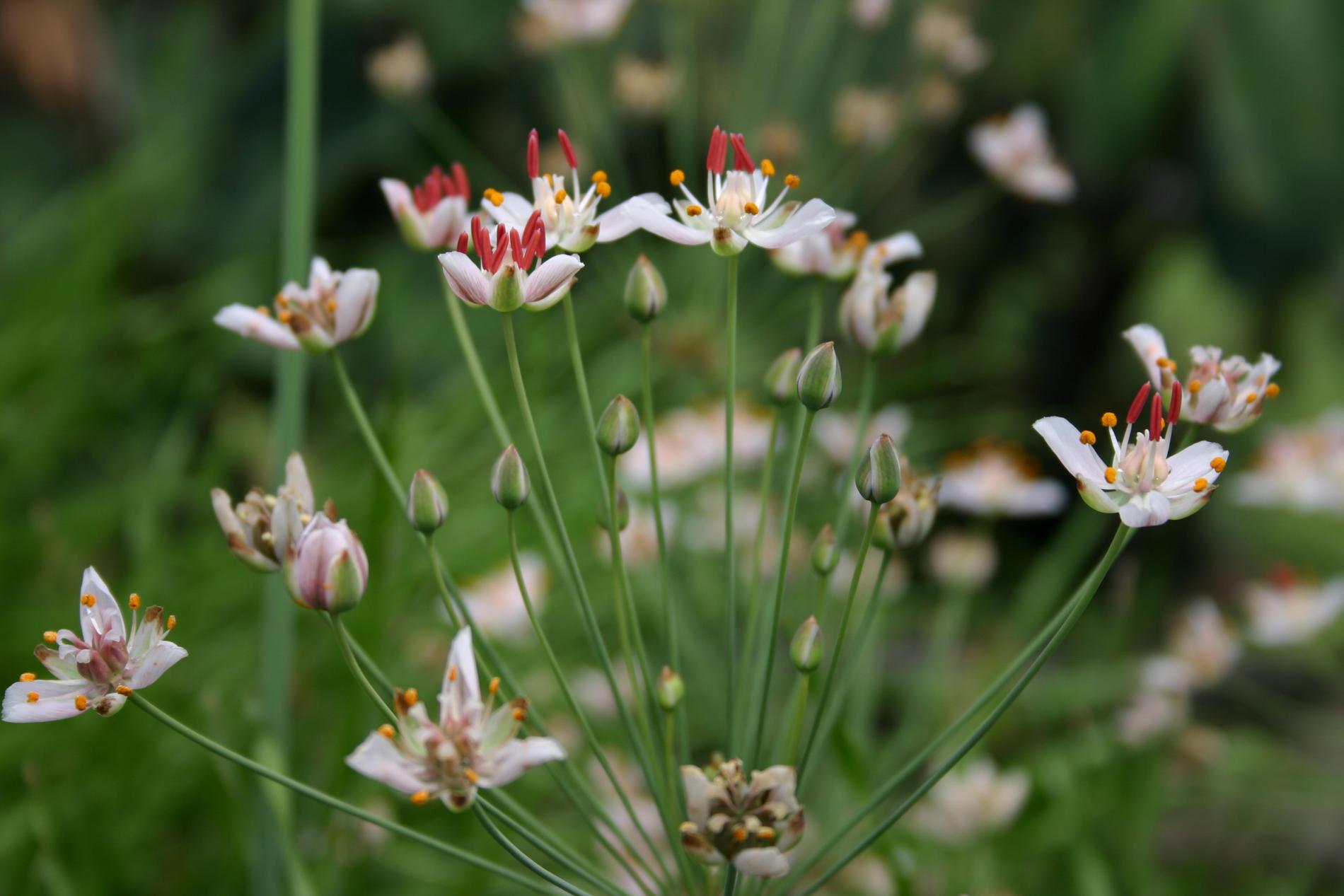 Flowering rush (1 of 1).jpg