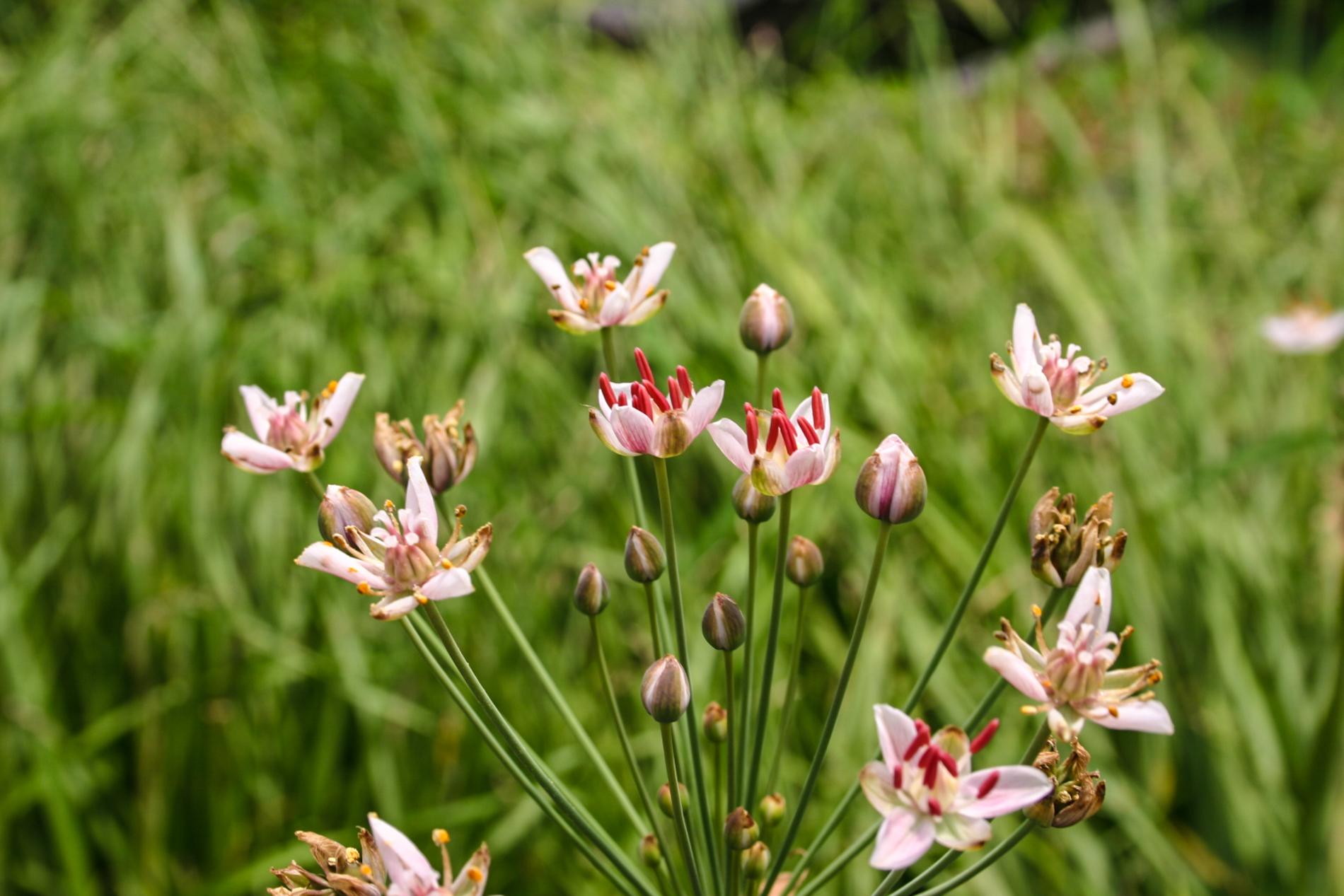Flowering rush (1 of 1)-2.jpg