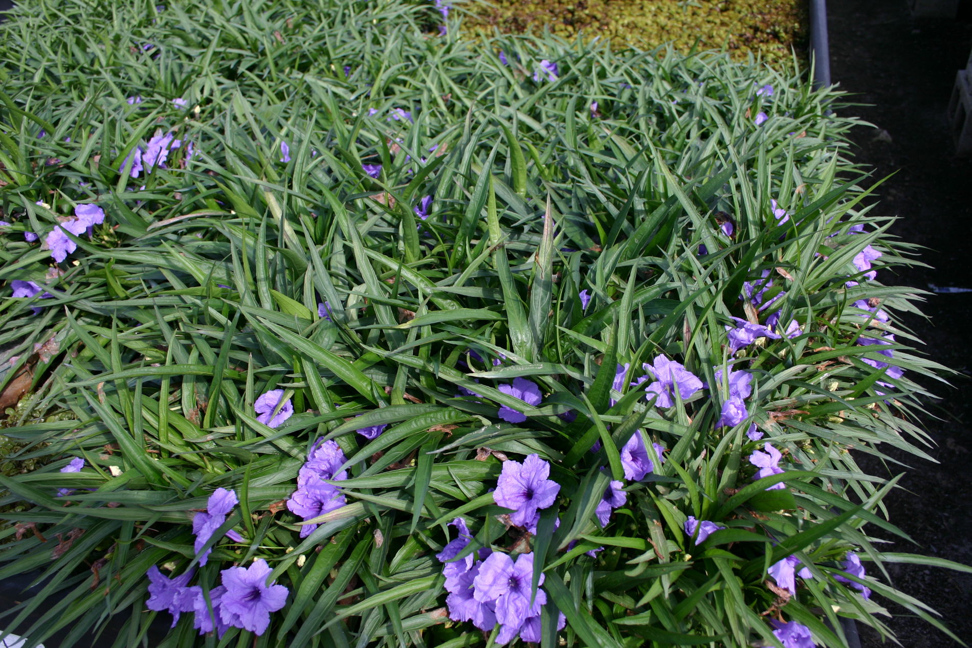 Mexican Bluebells (1 of 1).jpg
