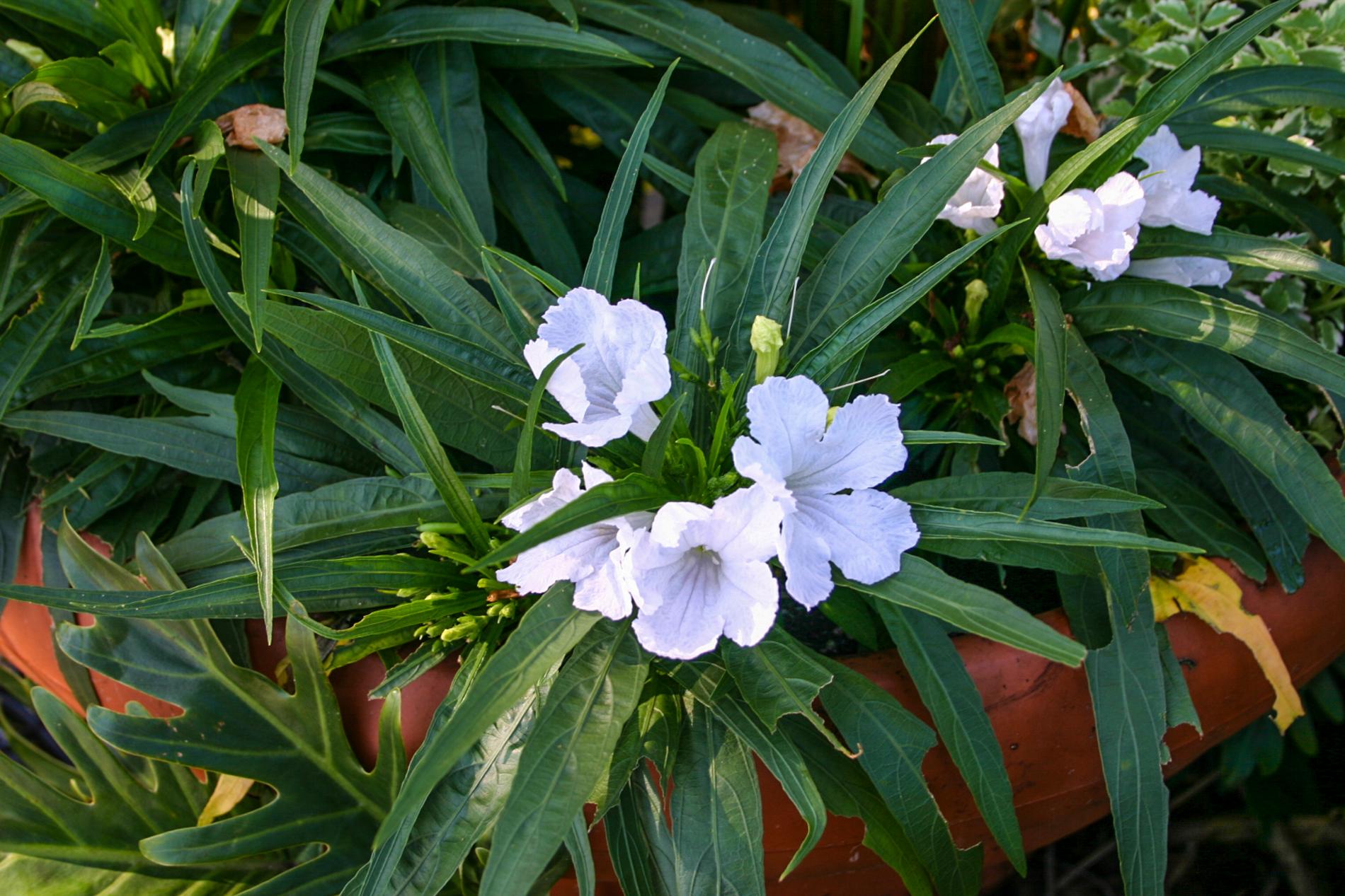 Ruellia brittoniana 'white' (1 of 1).jpg