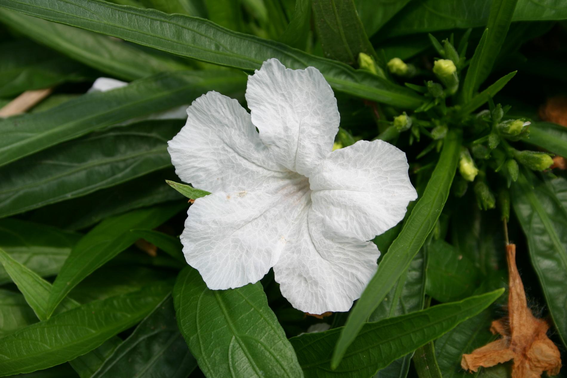 Ruellia brittoniana 'white' 1 (1 of 1).jpg