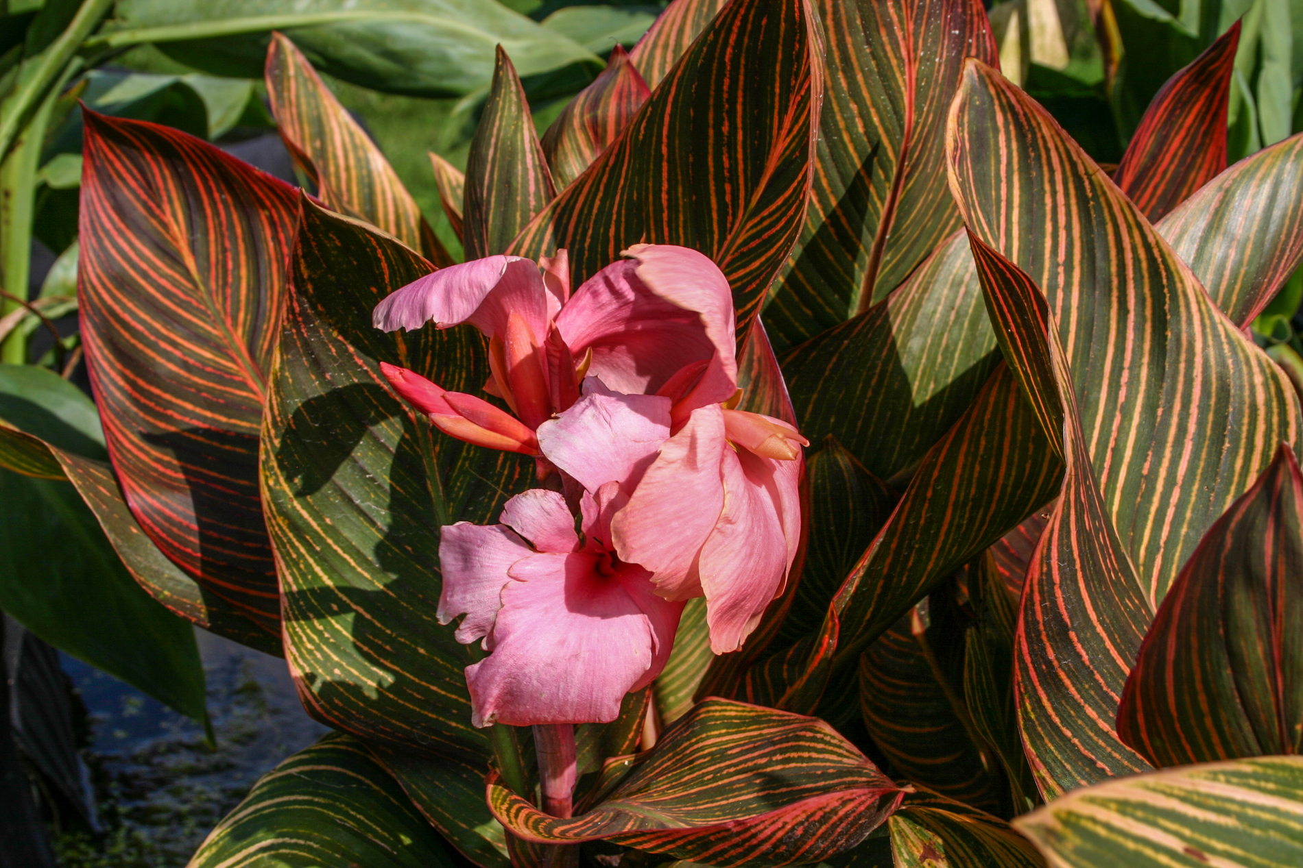 Canna Pink Sunburst (1 of 1).jpg