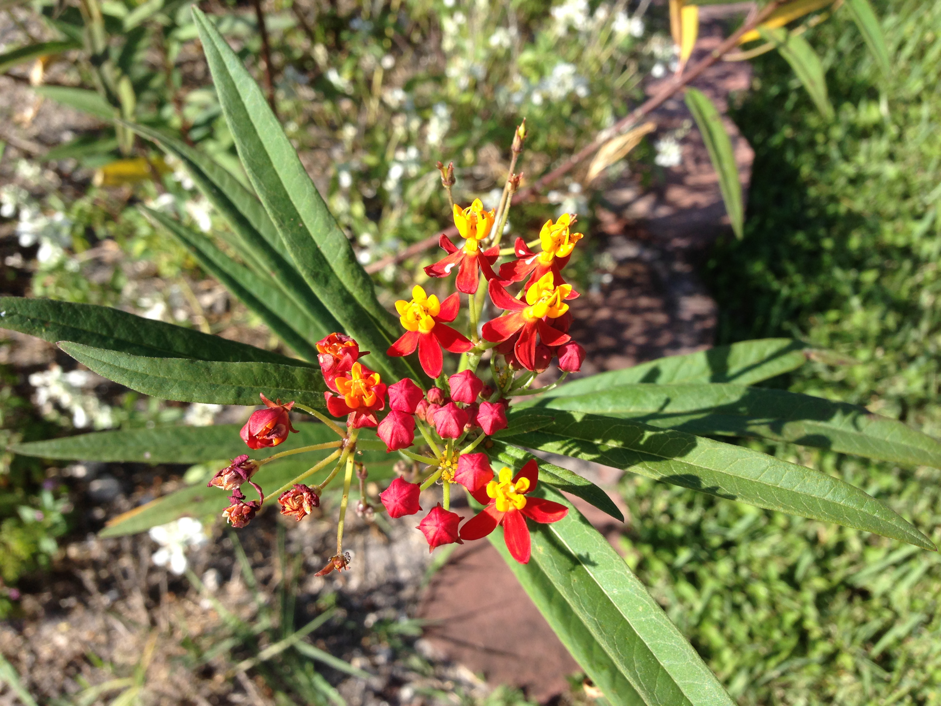 Mexican Butterfly Weed (Ascepias curassavica).jpg