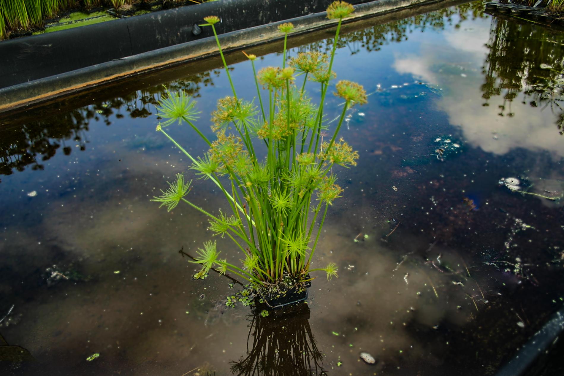 Cyperus haspan 3 (1 of 1).jpg