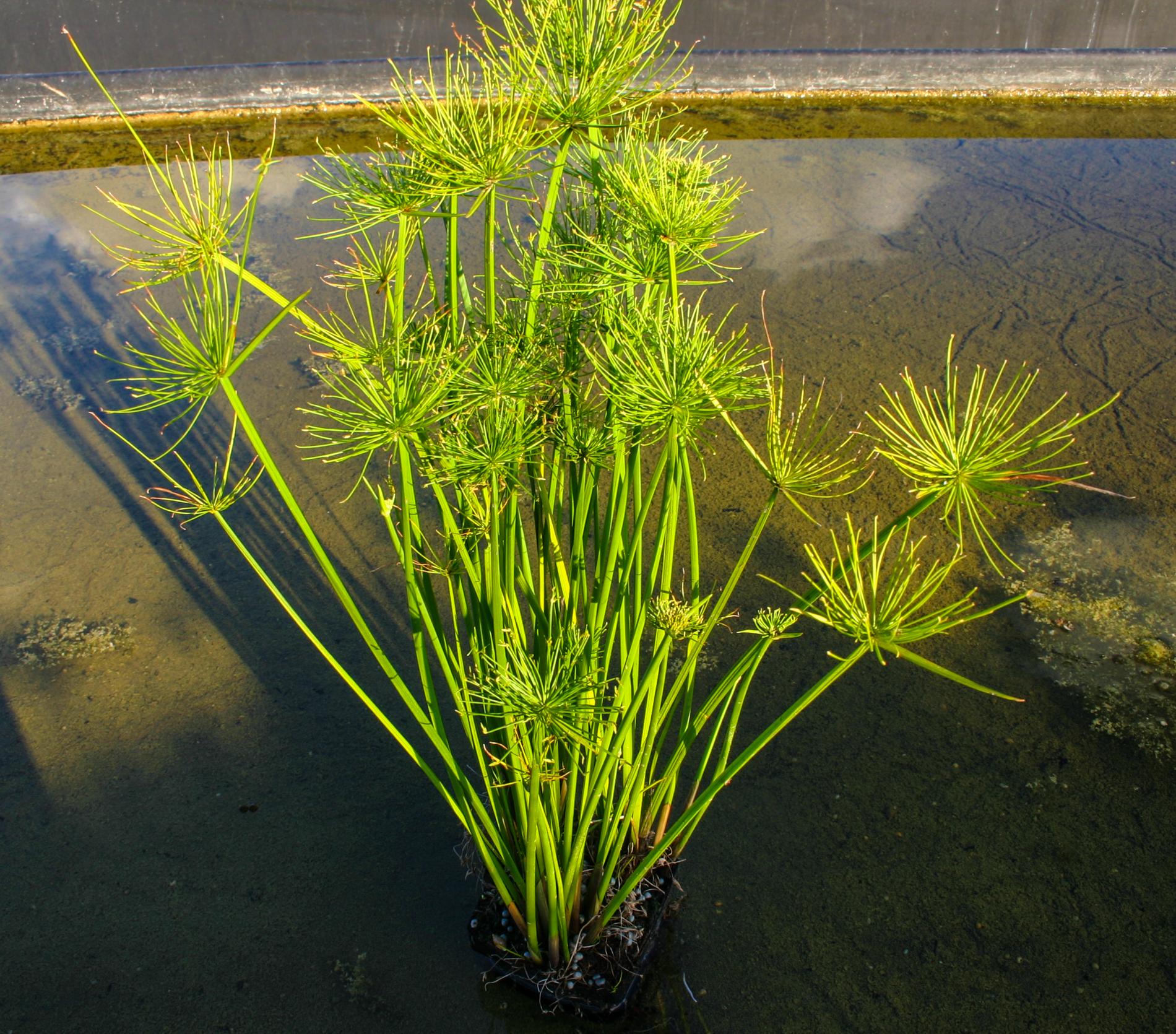 Cyperus haspan (1 of 1).jpg