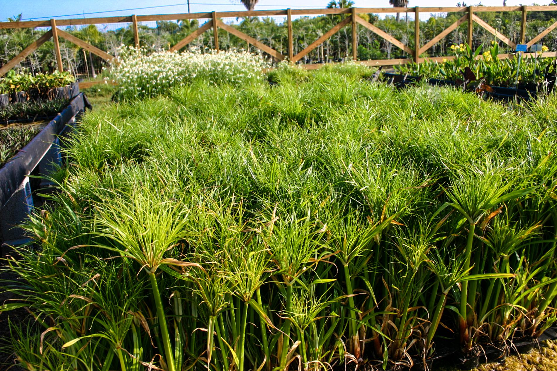 Cyperus percamenthus (1 of 1).jpg