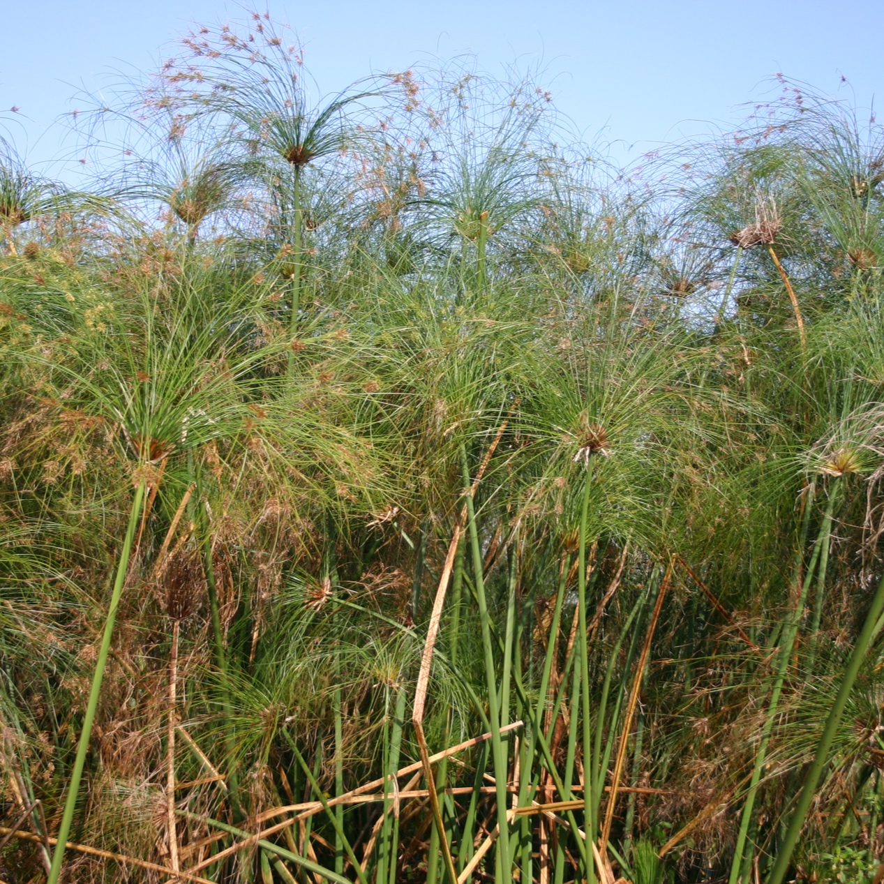 Cyperus papyrus - Giant papyrus