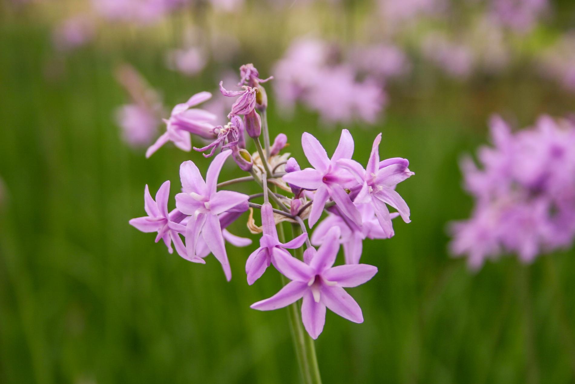 Society garlic flower (1 of 1).jpg