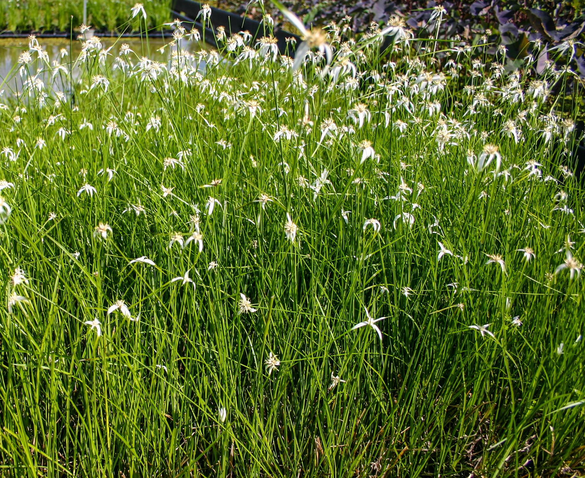Stargrass (1 of 1).jpg