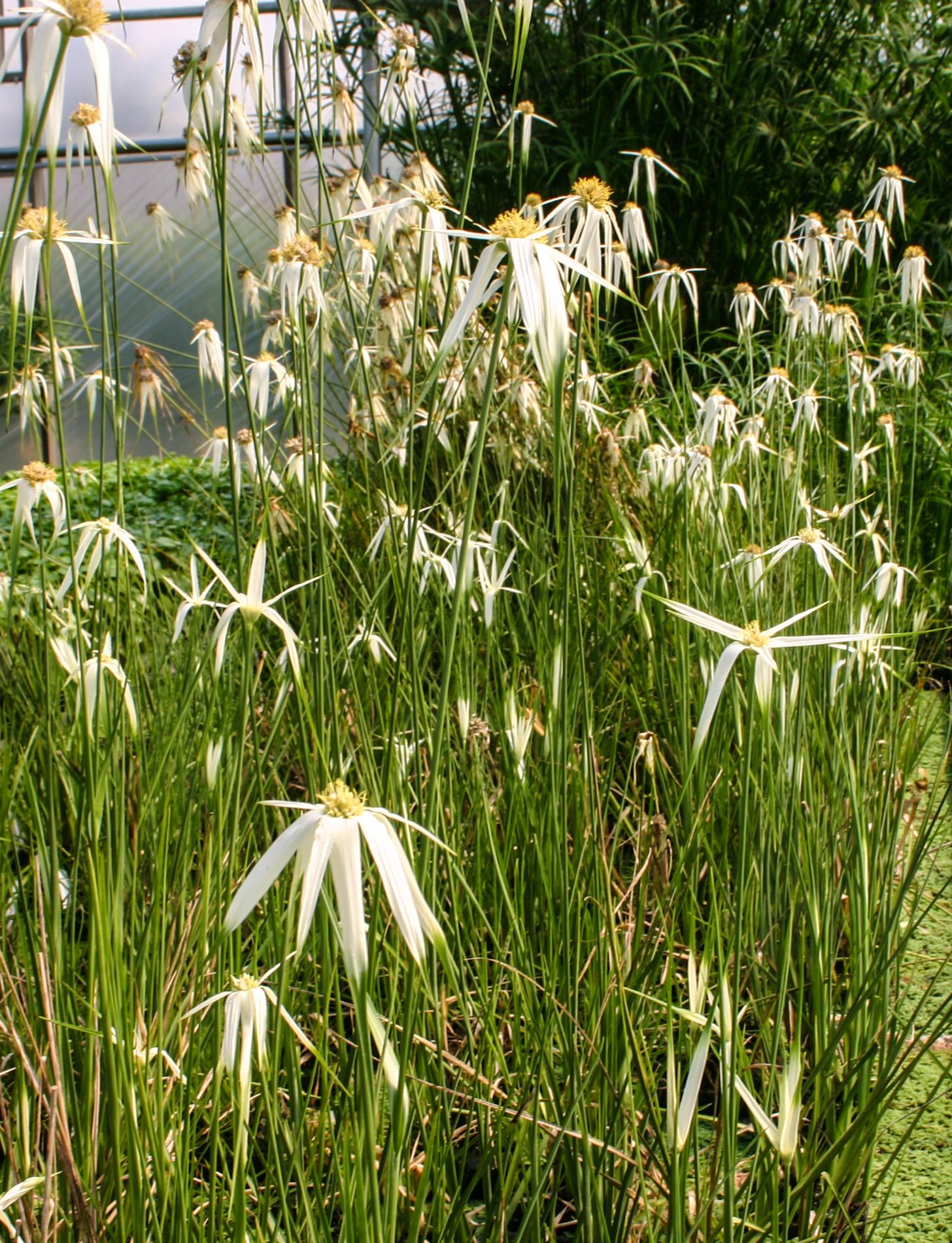 Giant Stargrass (1 of 1).jpg