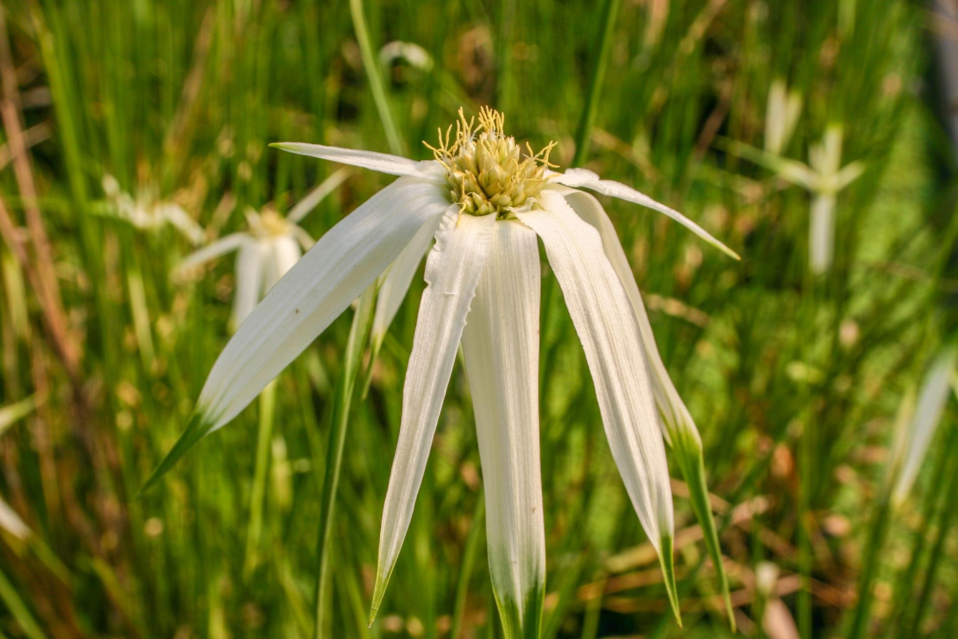 Giant Stargrass flower (1 of 1).jpg