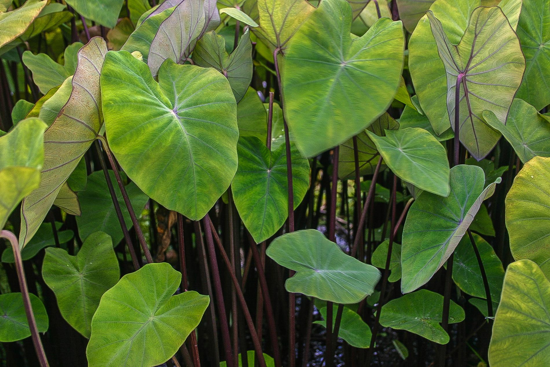 Violet stem taro 2 (1 of 1).jpg