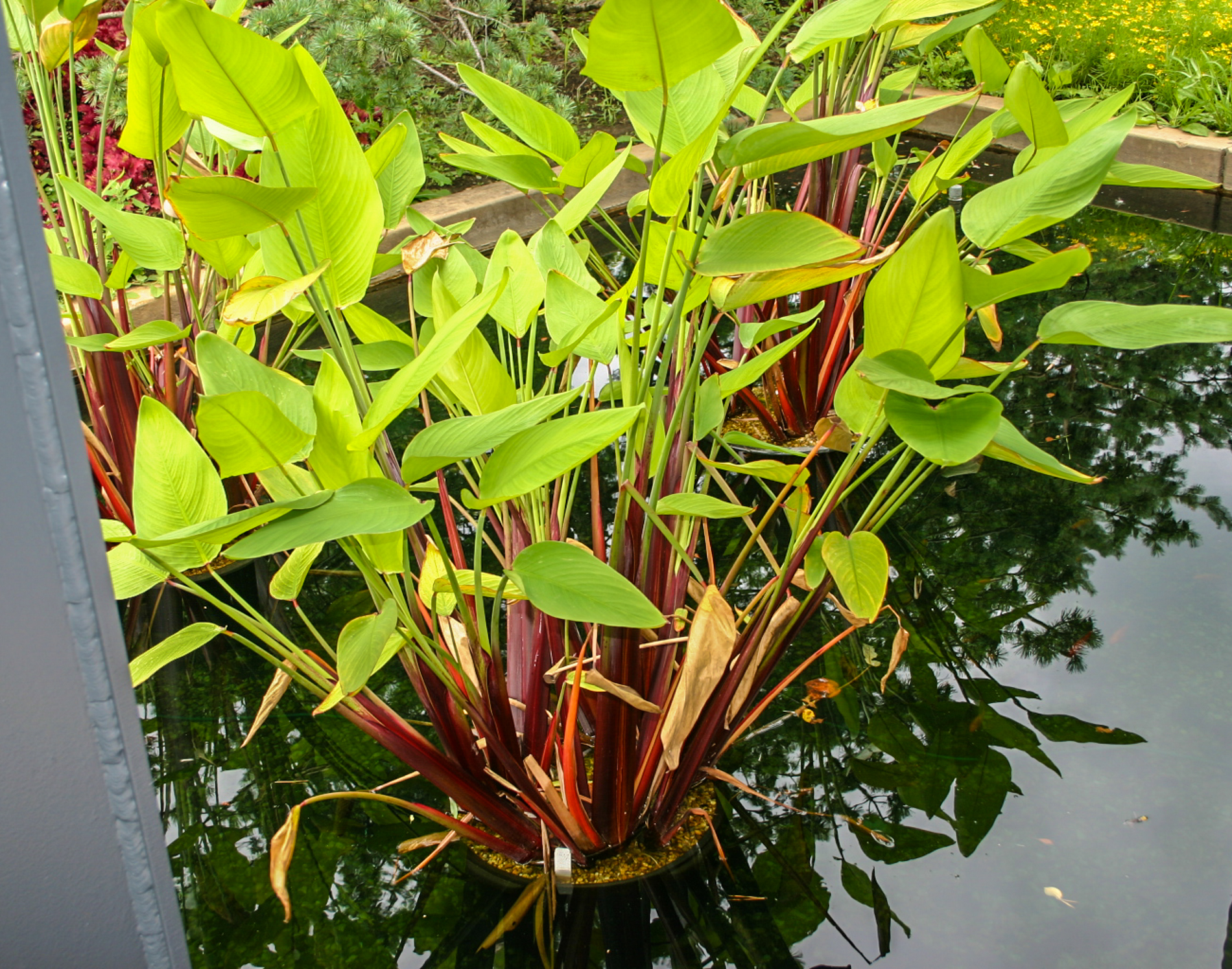 Red stem thalia 3 (1 of 1).jpg