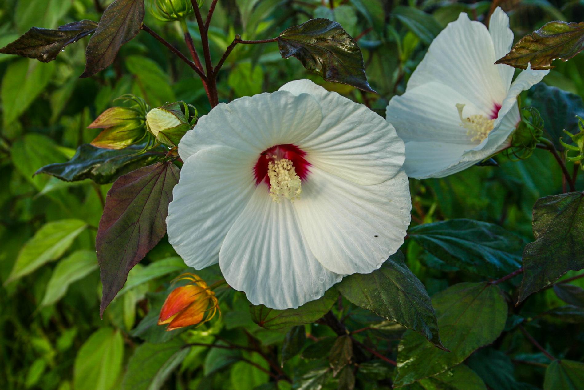 Hibiscus moscheutos (1 of 1).jpg