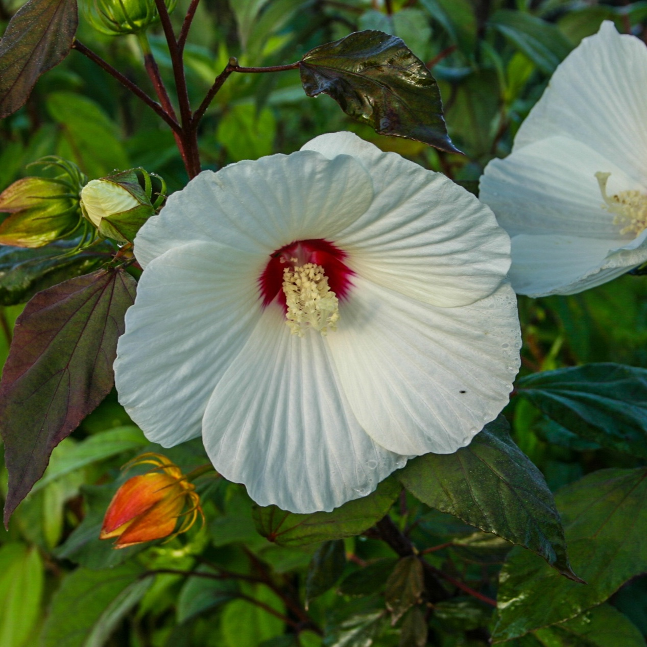 Hibiscus moscheutos - White Large Water Hibiscus