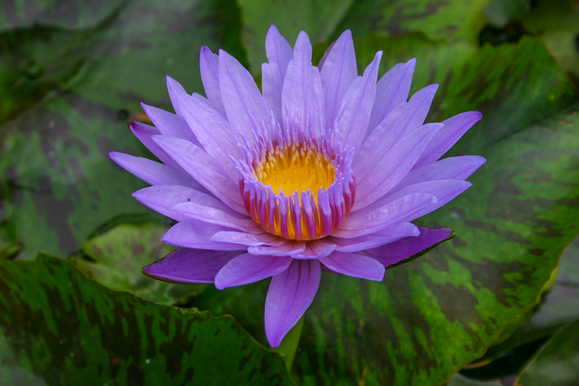 Nymphaea 'Bhagdad' 3 (1 of 1).jpg