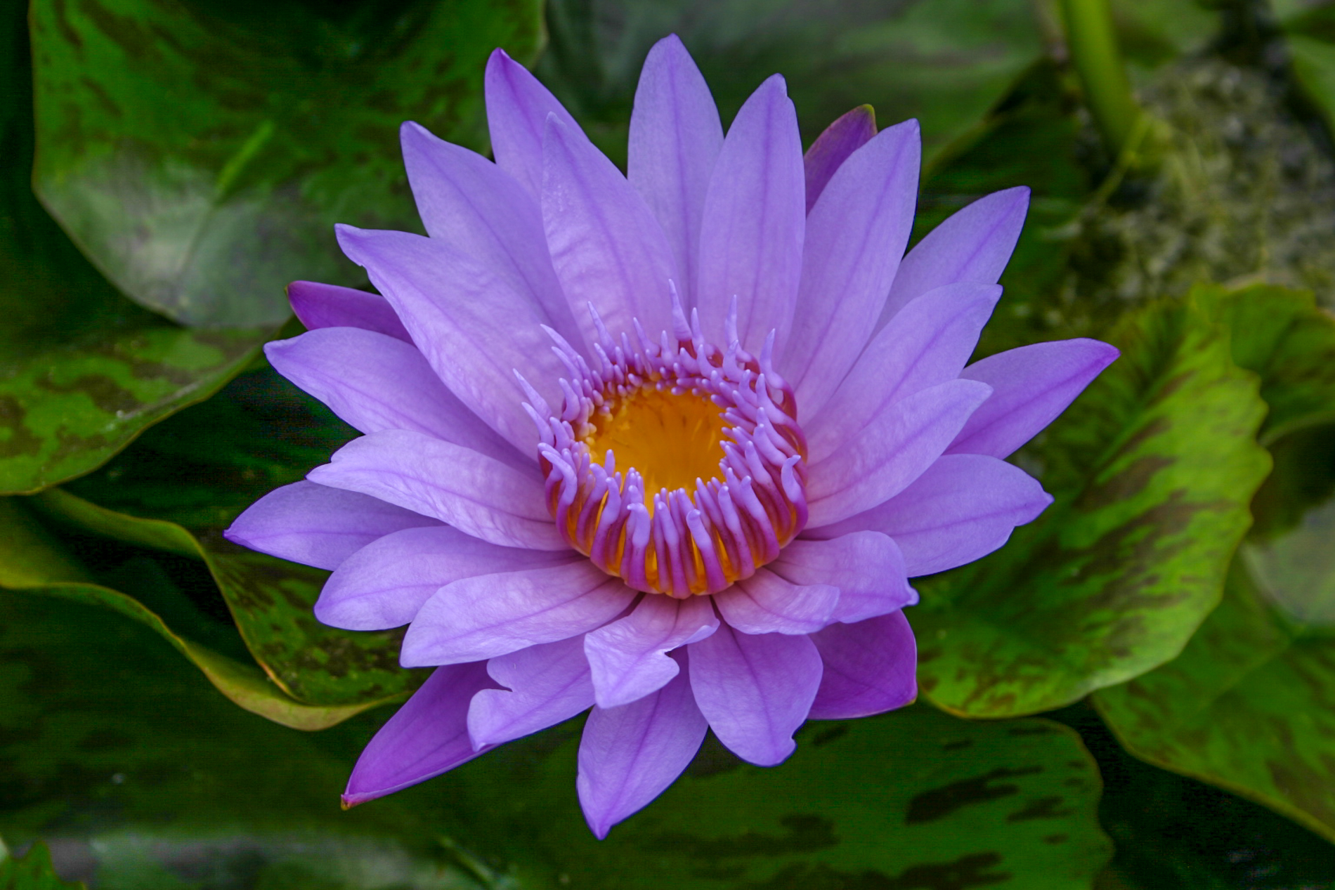 Nymphaea 'Bhagdad' 4 (1 of 1).jpg