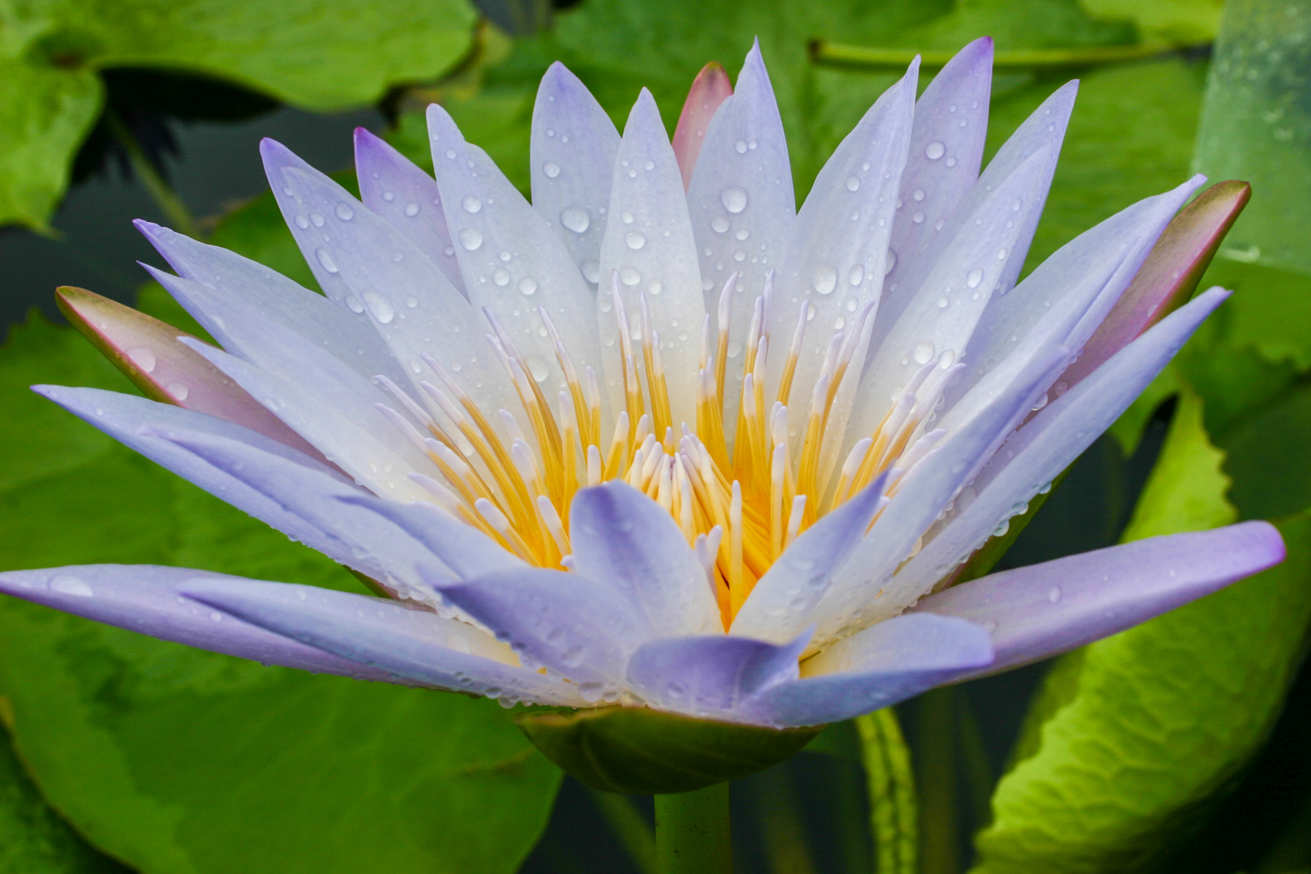 Nymphaea 'Blink' 2 (1 of 1).jpg