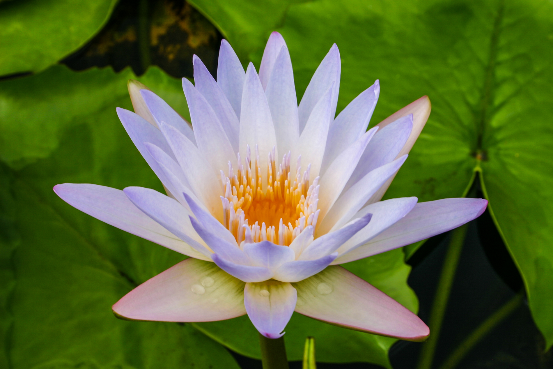 Nymphaea 'Blink' 3 (1 of 1).jpg