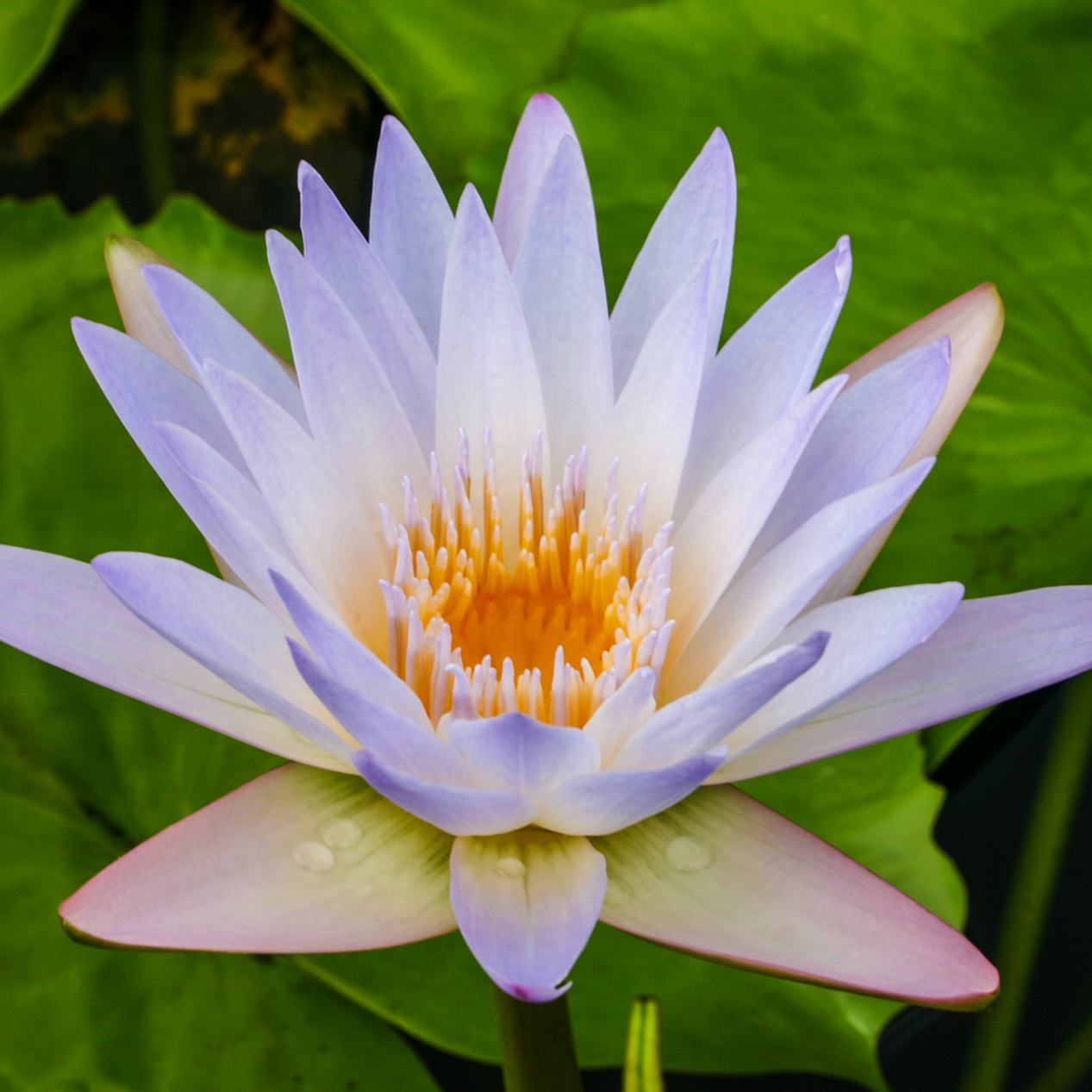 Nymphaea 'Blink' - Tropical