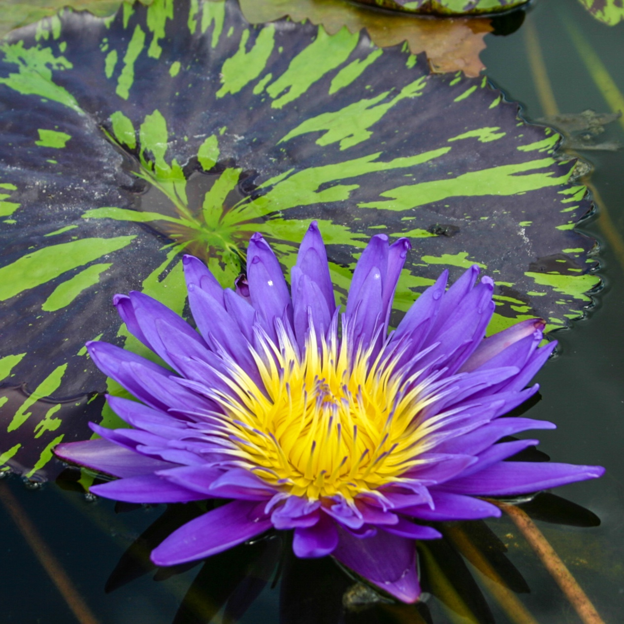 Nymphaea 'Blue Aster' - Tropical