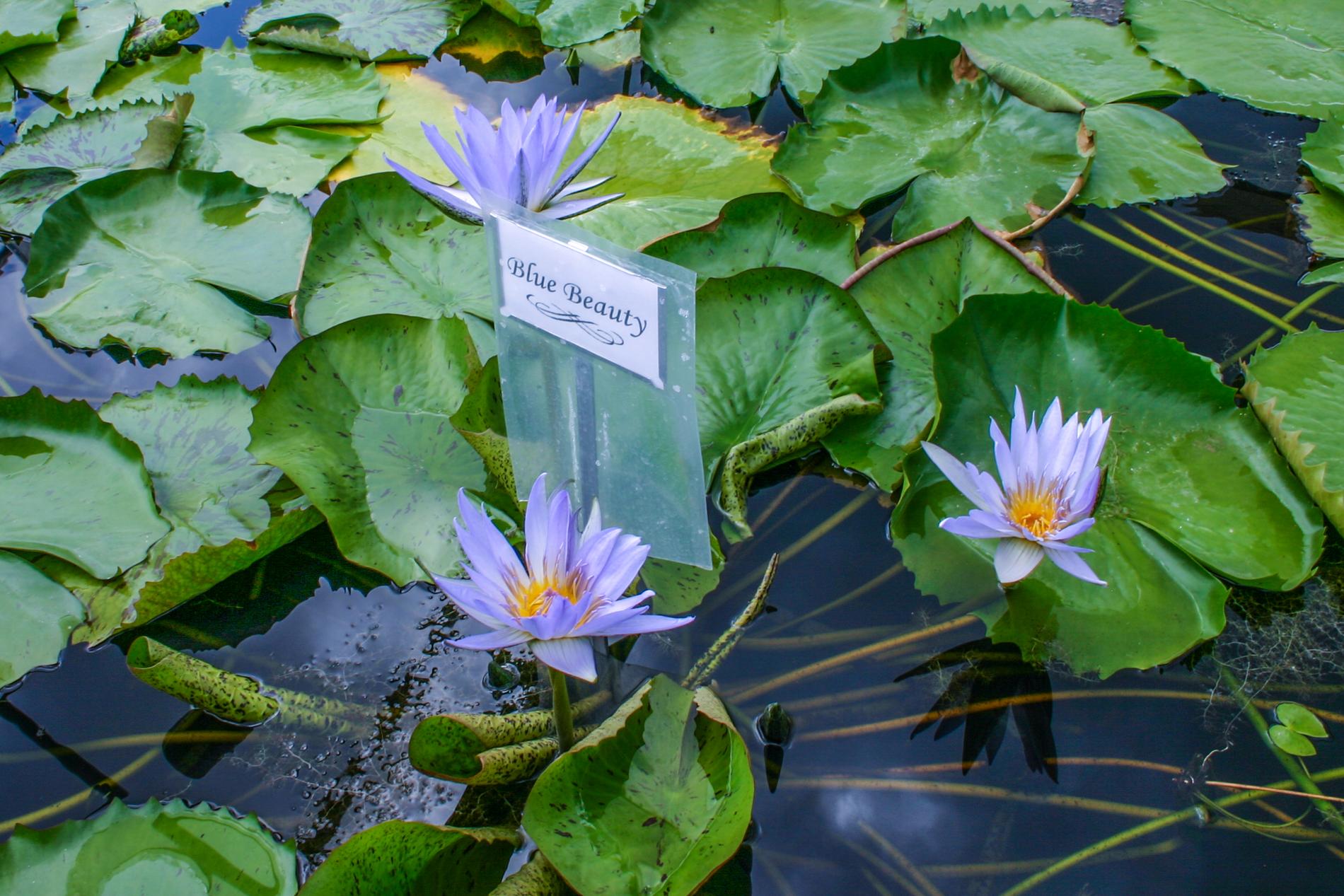 Nymphaea 'Blue Beauty' (1 of 1).jpg