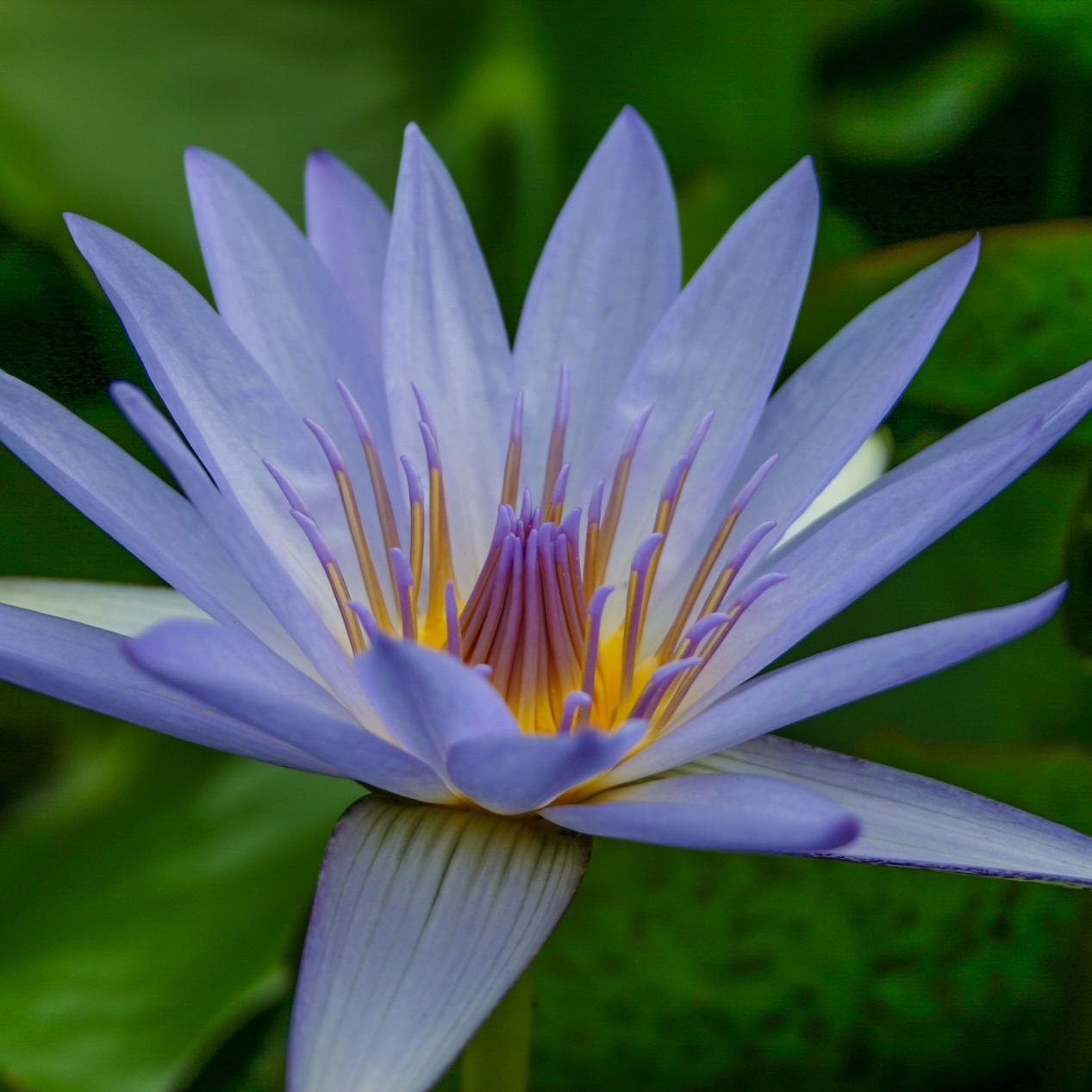 Nymphaea 'Blue Beauty' - Tropical