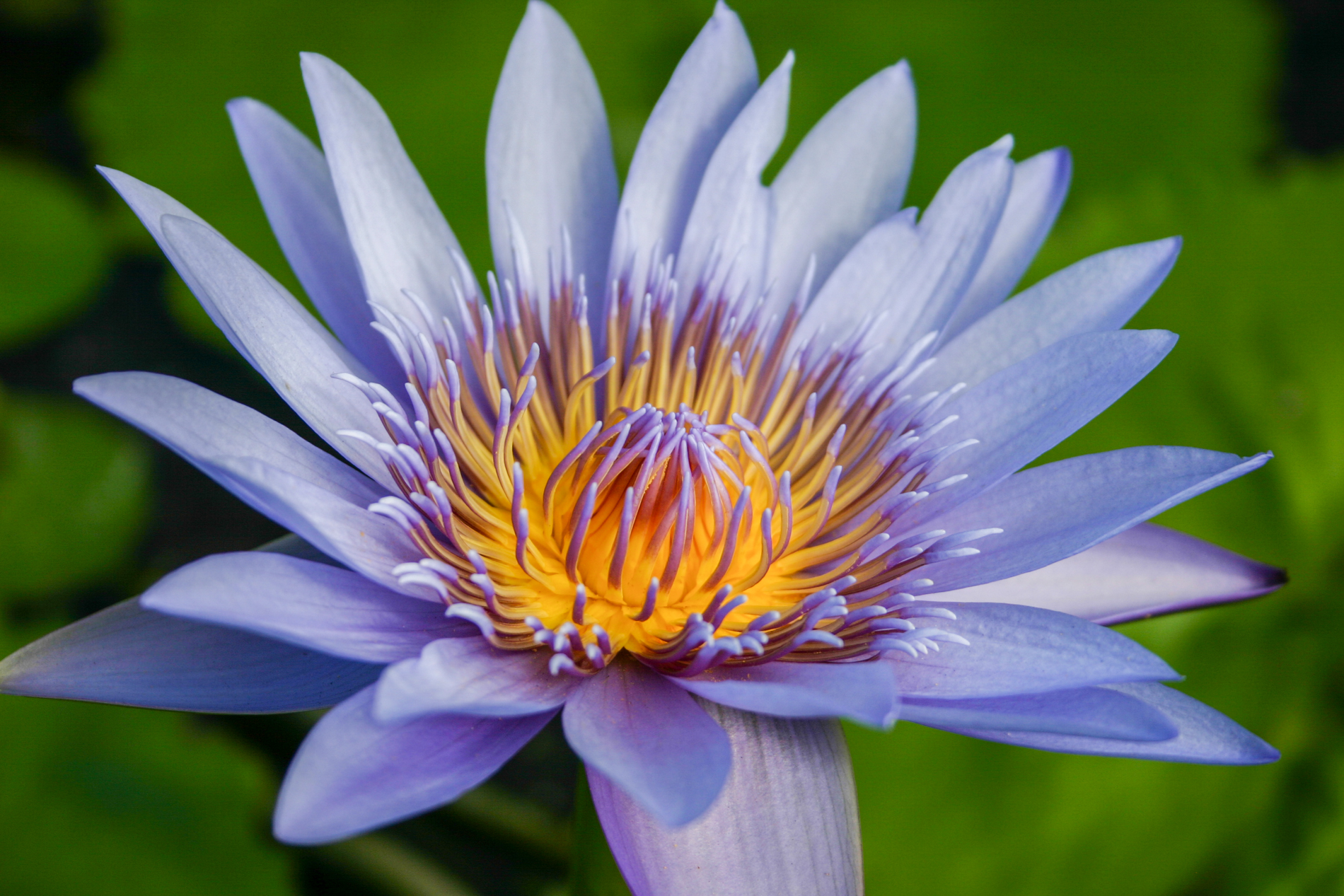 Nymphaea 'Blue Capensis' (1 of 1).jpg
