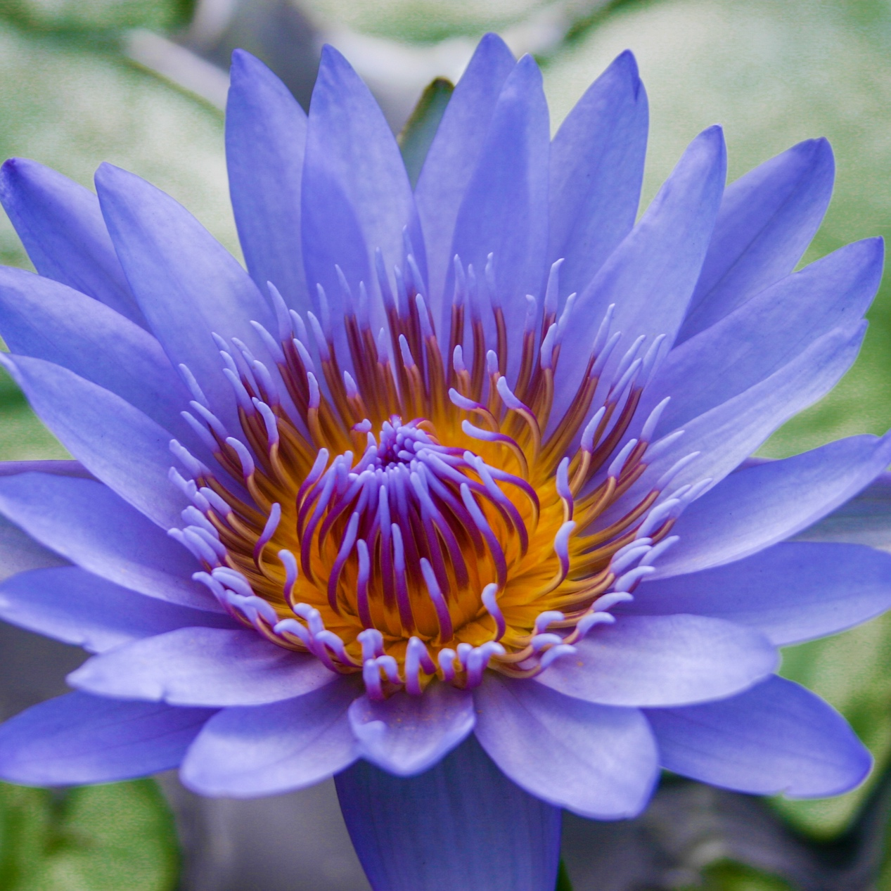 Nymphaea 'Blue Capensis' - Tropical