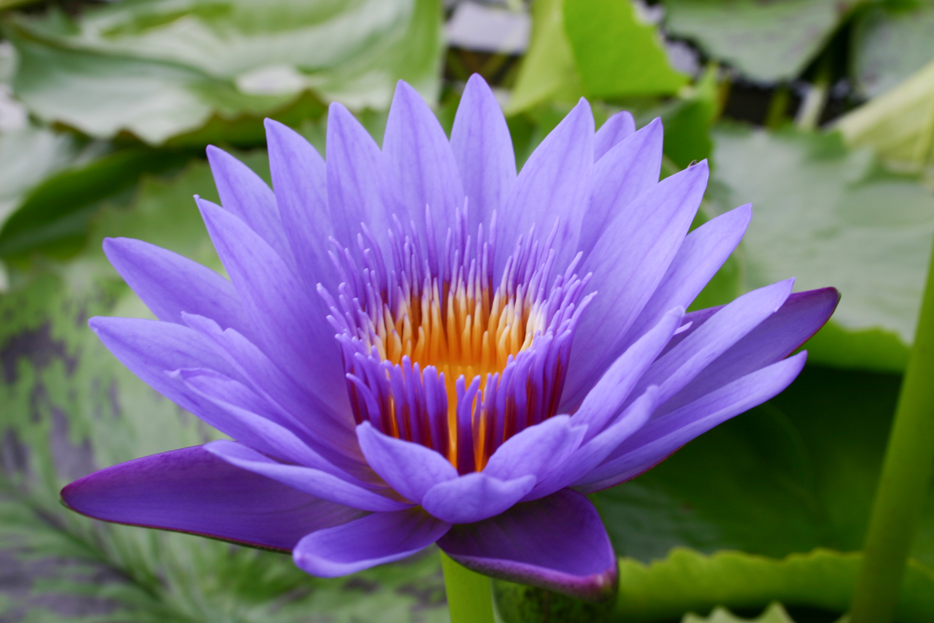 Nymphaea 'Blue Spider' 3 (1 of 1).jpg