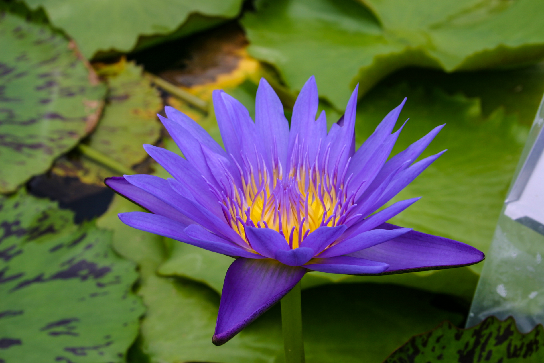 Nymphaea 'Blue Spider' 2 (1 of 1).jpg