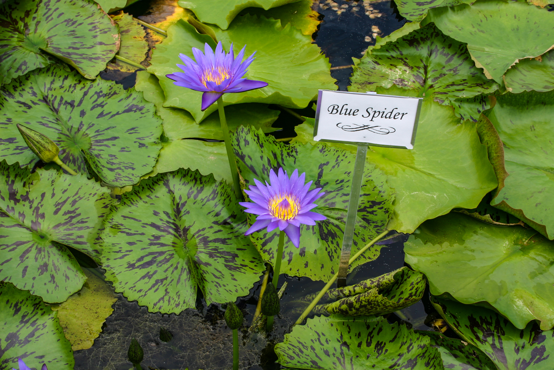 Nymphaea 'Blue Spider' (1 of 1).jpg