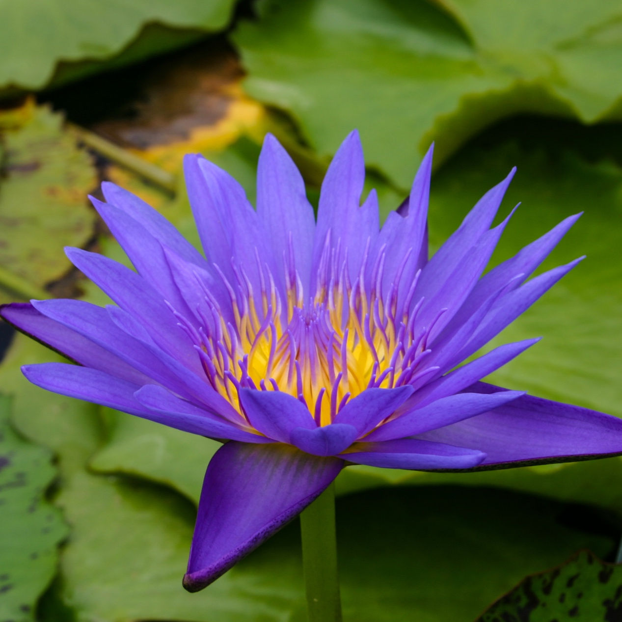 Nymphaea 'Blue Spider' - Tropical