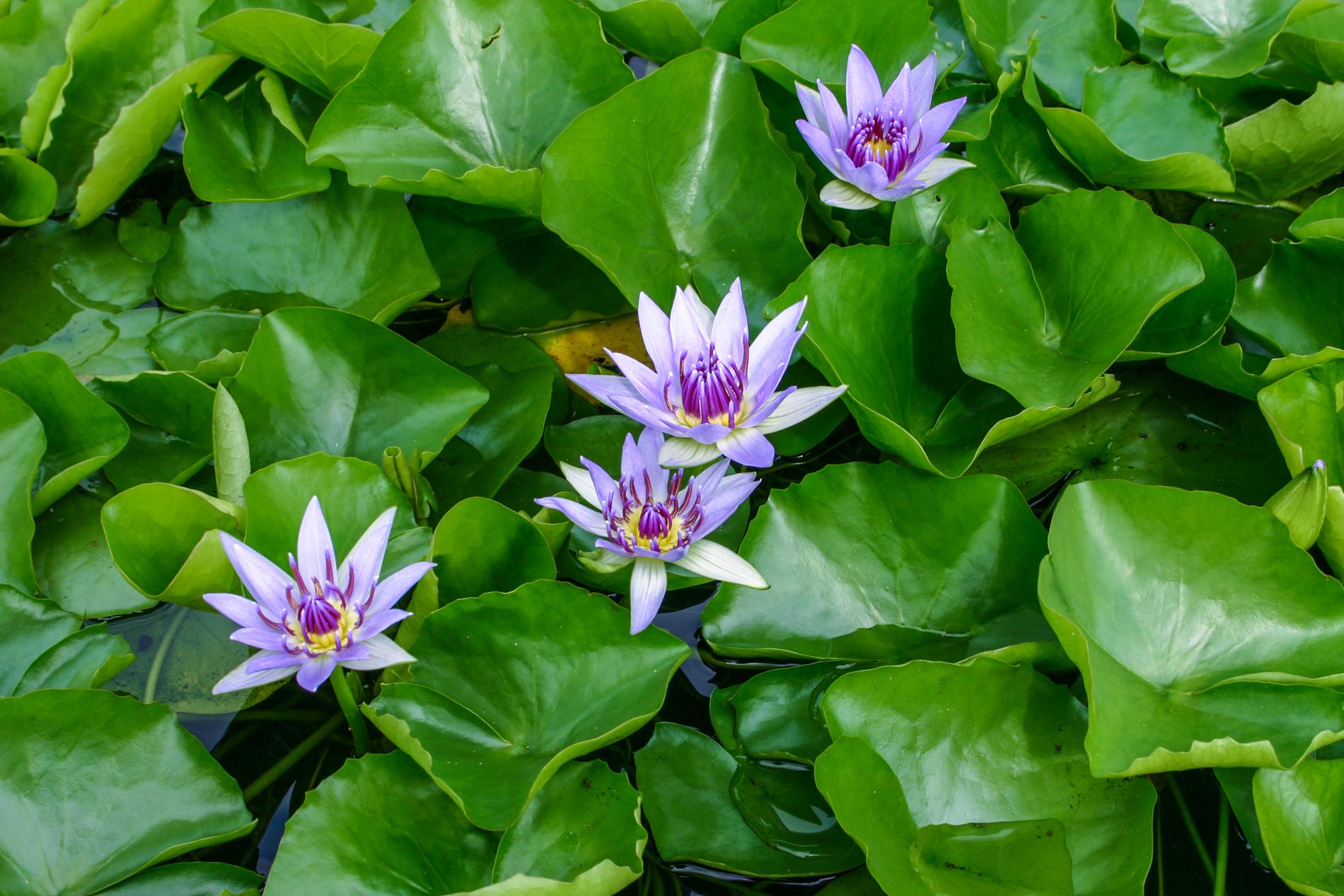 Nymphaea 'Colorata' 3 (1 of 1).jpg