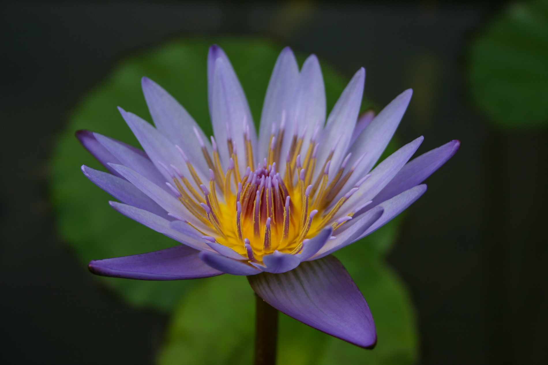 Nymphaea 'Margaret Mary' 1 (1 of 1).jpg